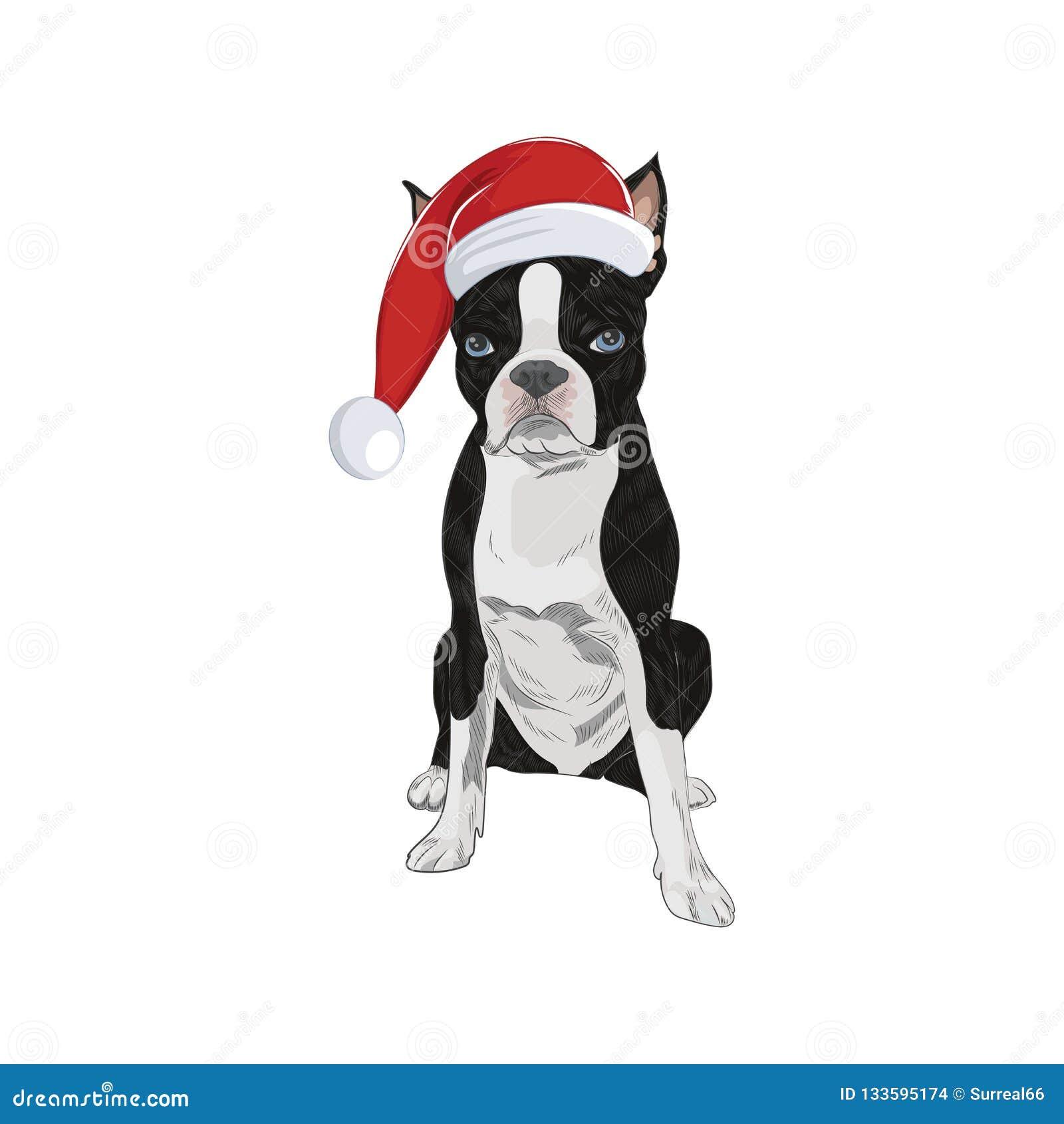 Boston Terrier, das Sankt-Hut lokalisiert auf weißem Hintergrund trägt