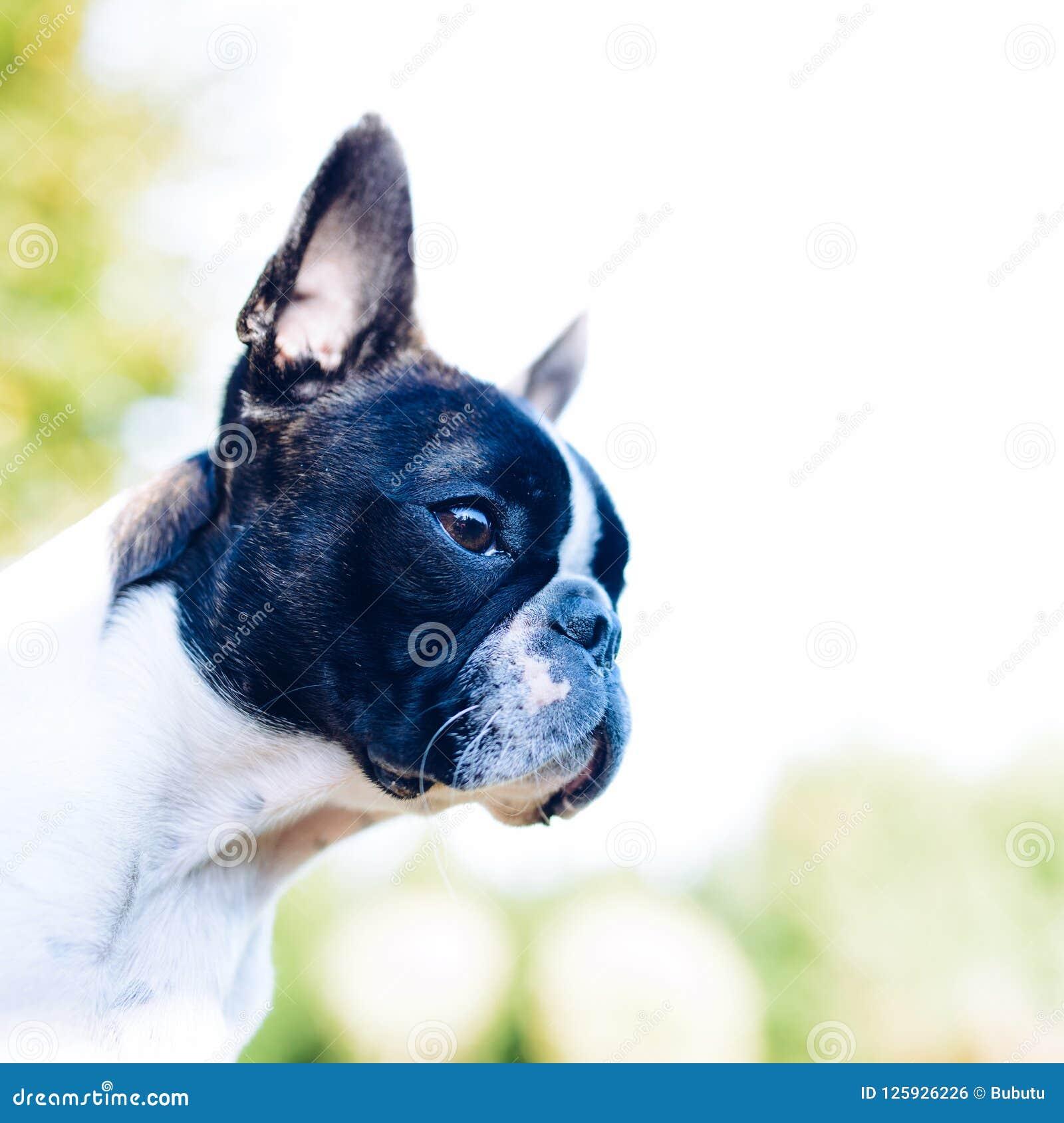 Boston terrier dog on summer background