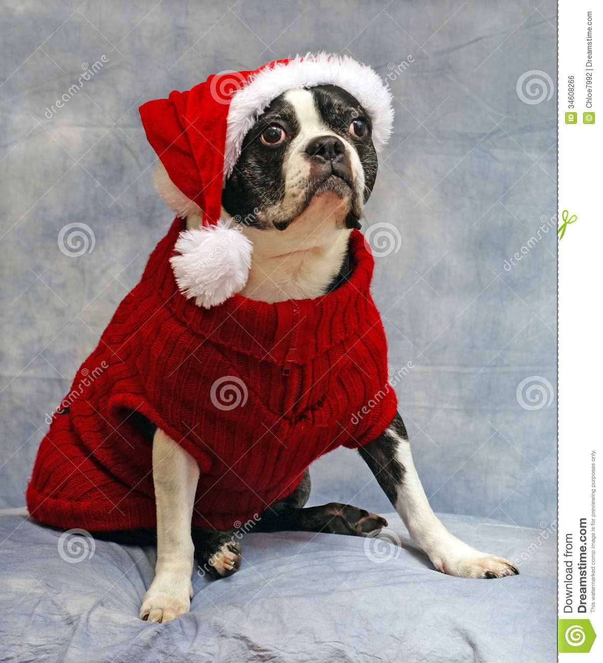 boston terrier dressed for christmas royalty free stock
