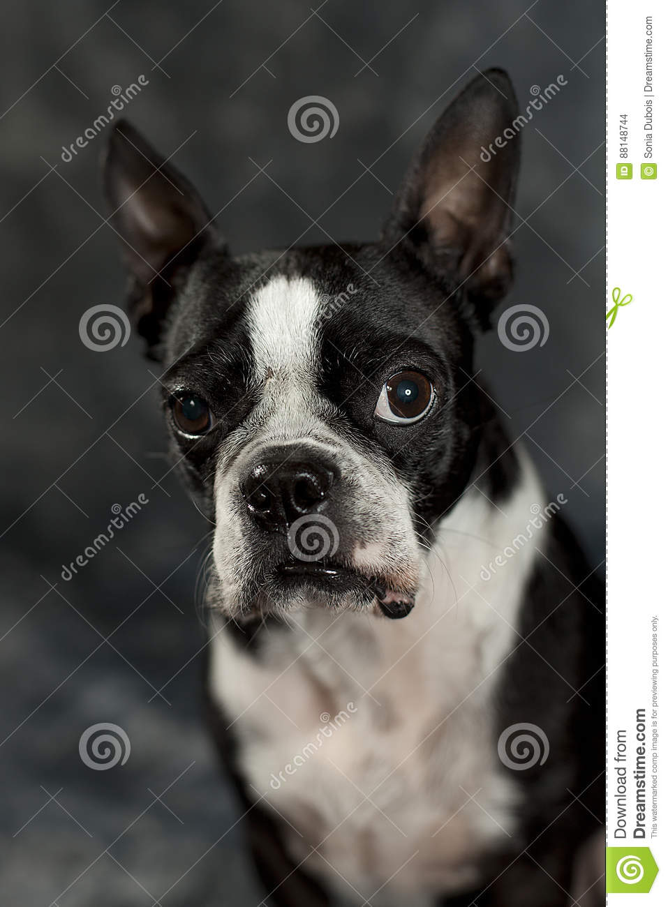Boston Terrier Stock Photo Image Of Puppy Boston Modeling 88148744