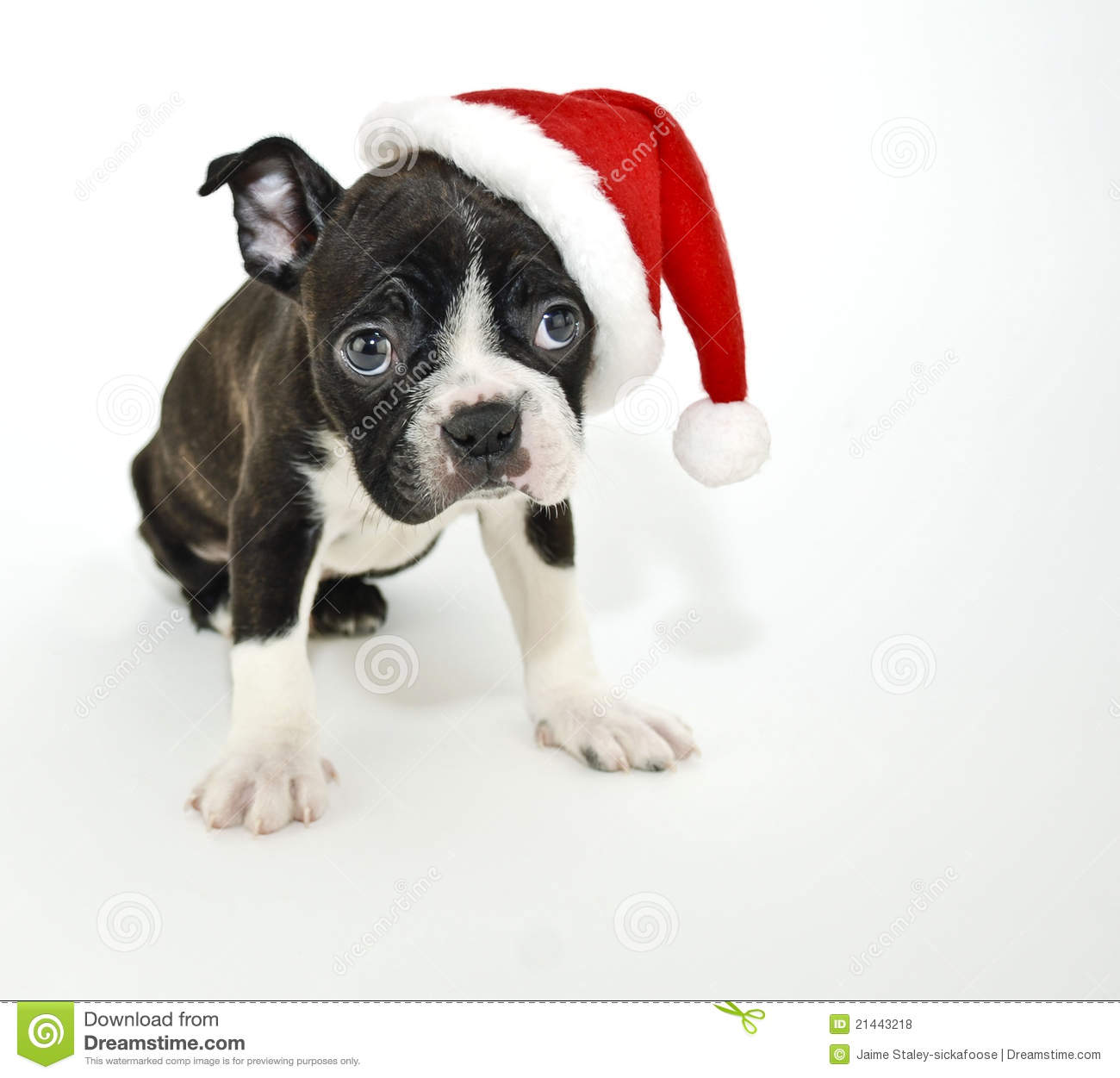 download boston terrier wearing a santa hat stock photo image of animal expression