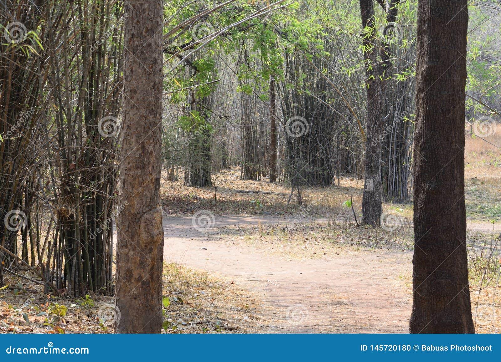 Bosweg door Tadoba-Wildreservaat in India