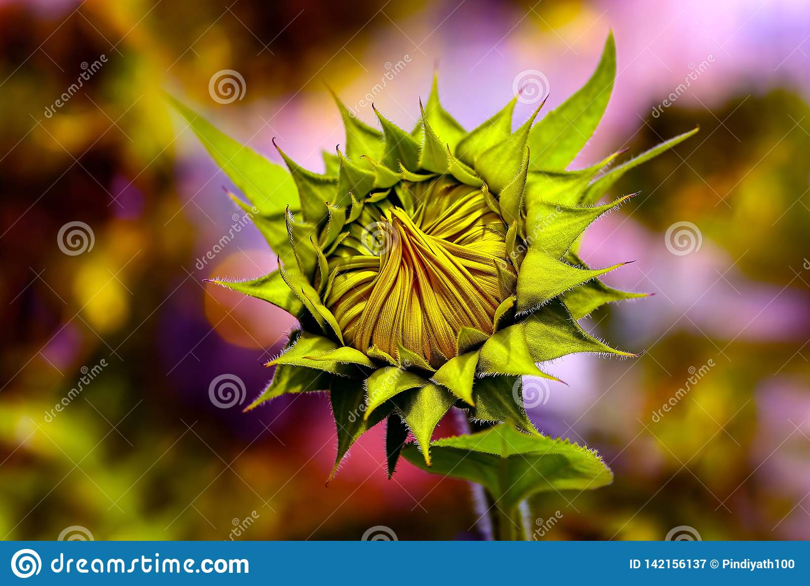 Botão alegre do girassol no sol