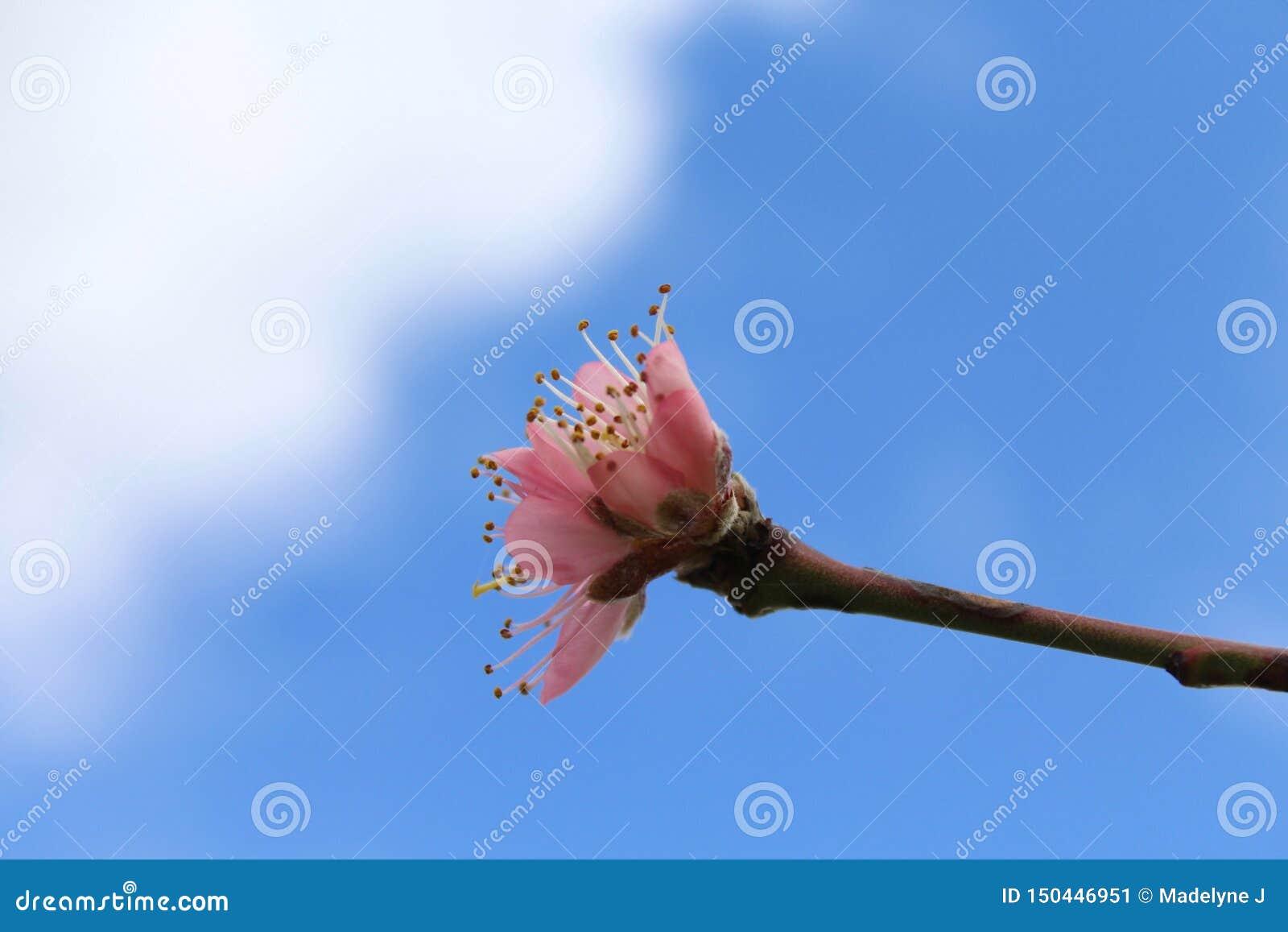 Botão cor-de-rosa do pêssego