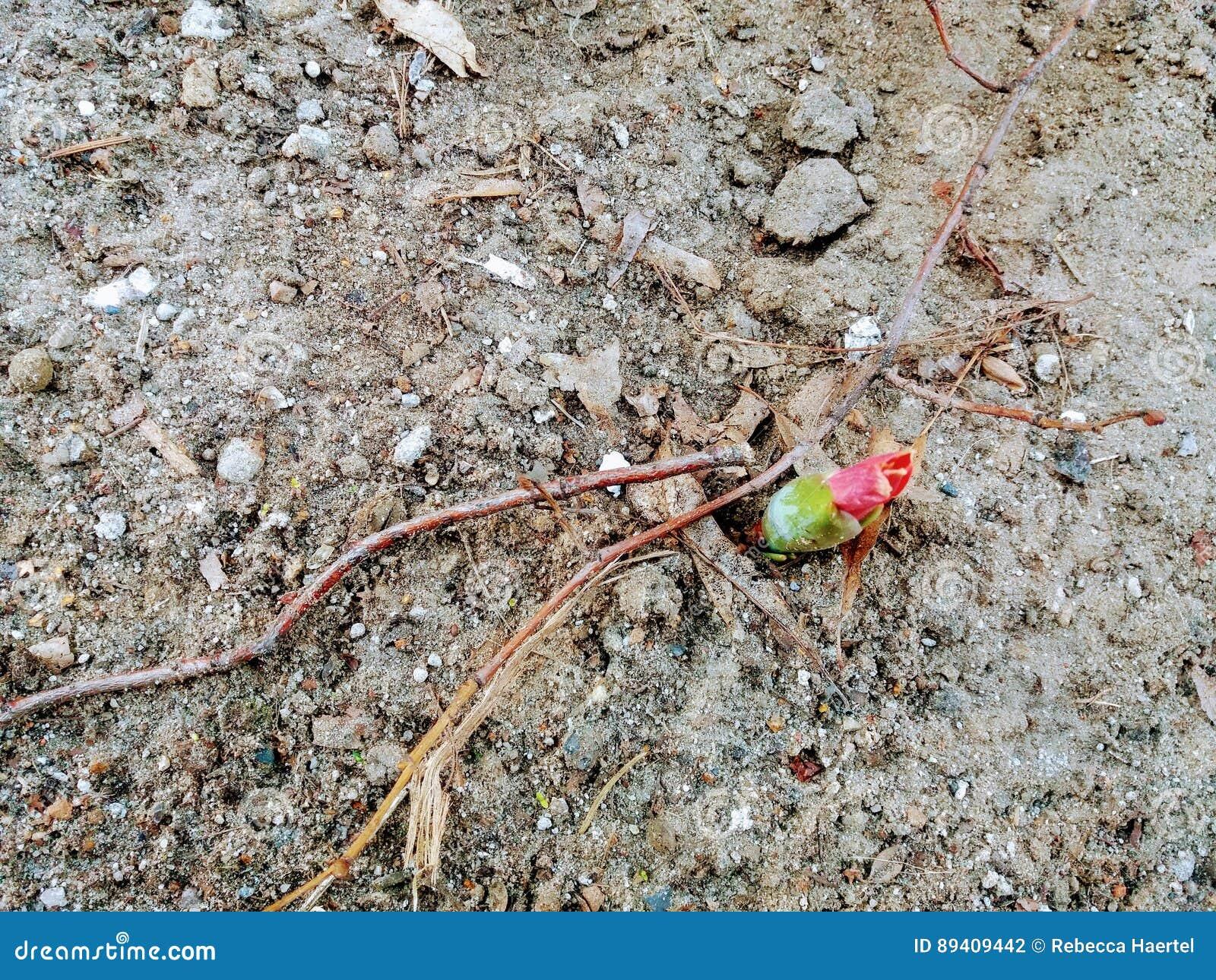 Botão de uma tulipa