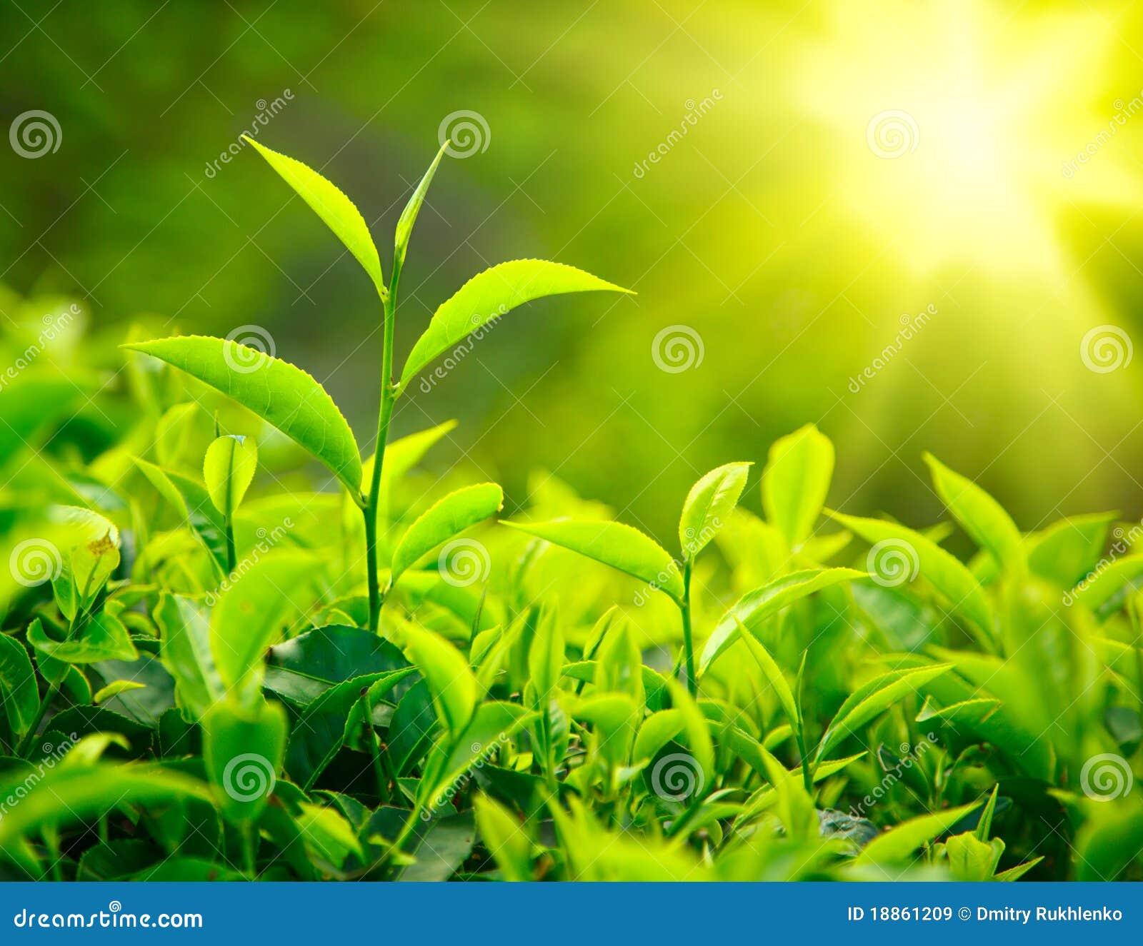 Botão e folhas do chá