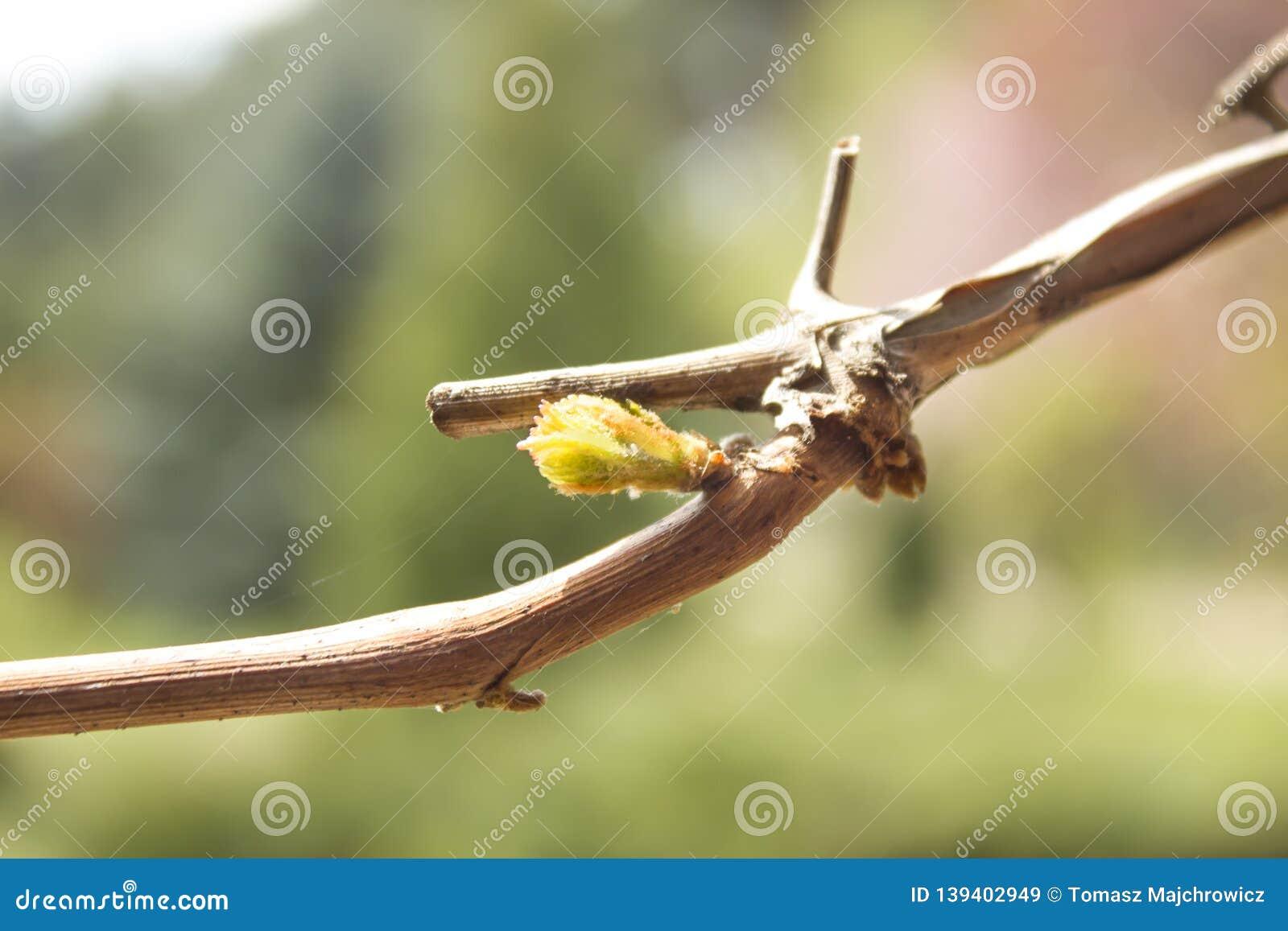 Botão novo de brotos das plantas das uvas dos galhos