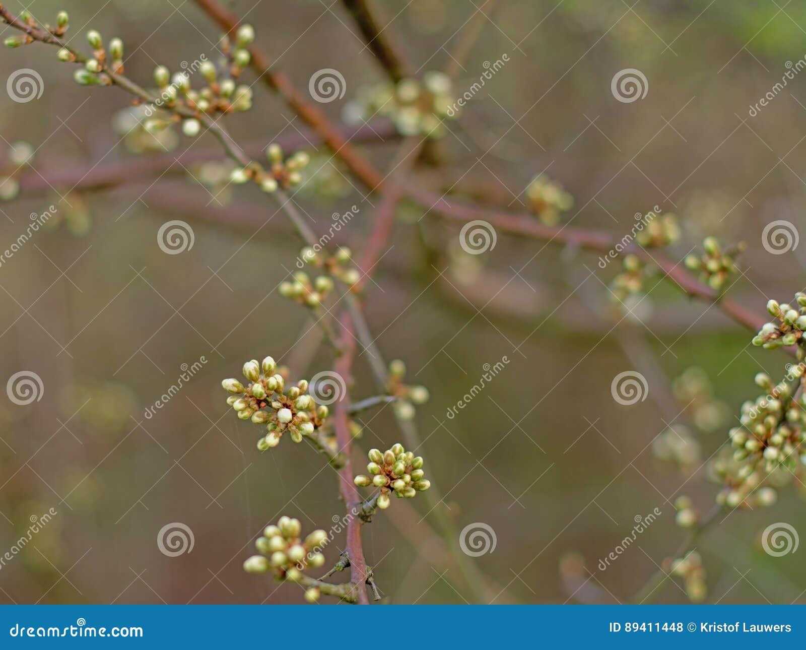 Botões brancos da flor de cerejeira - Prunus