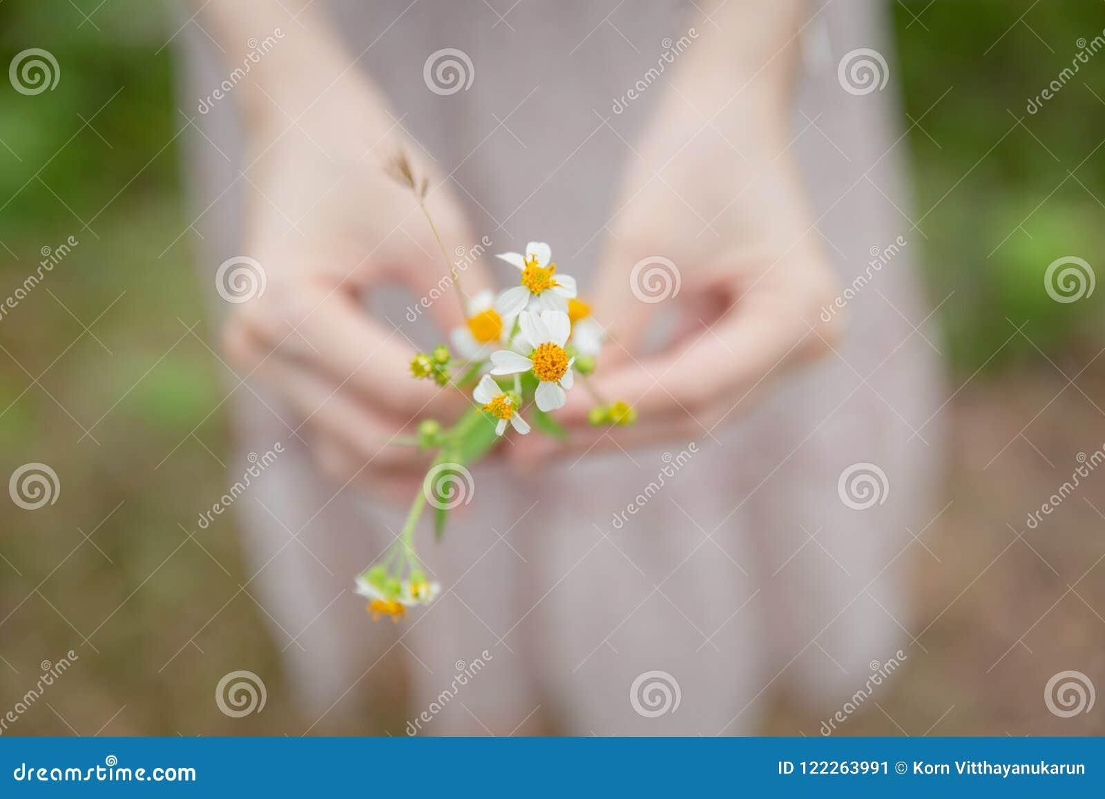 Botões de revestimento da flor da grama da camomila da posse da mão da mulher do close up