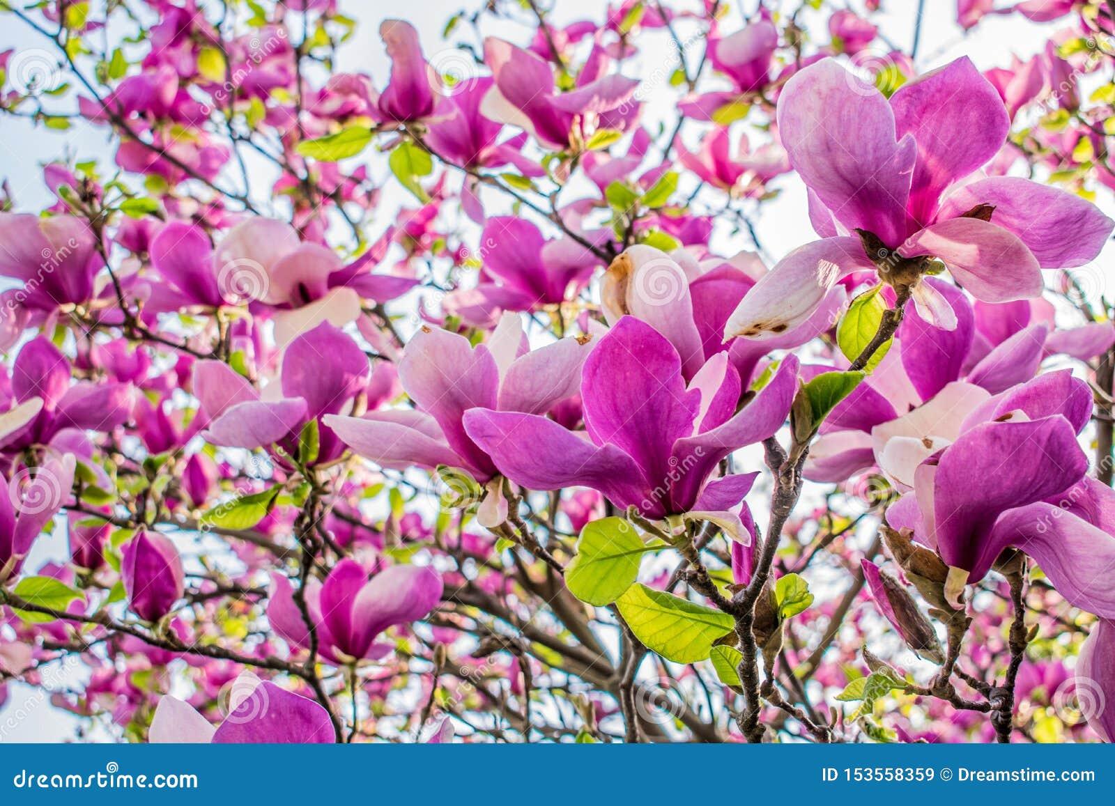Botões grandes da orquídea cor-de-rosa na mola na árvore