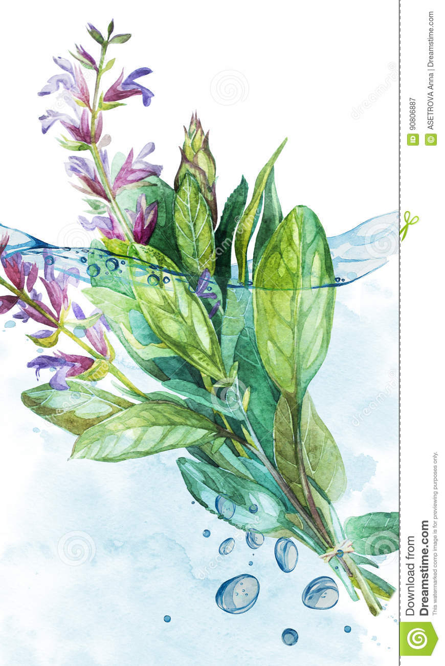 botanical drawing of a sage in water with bubbles