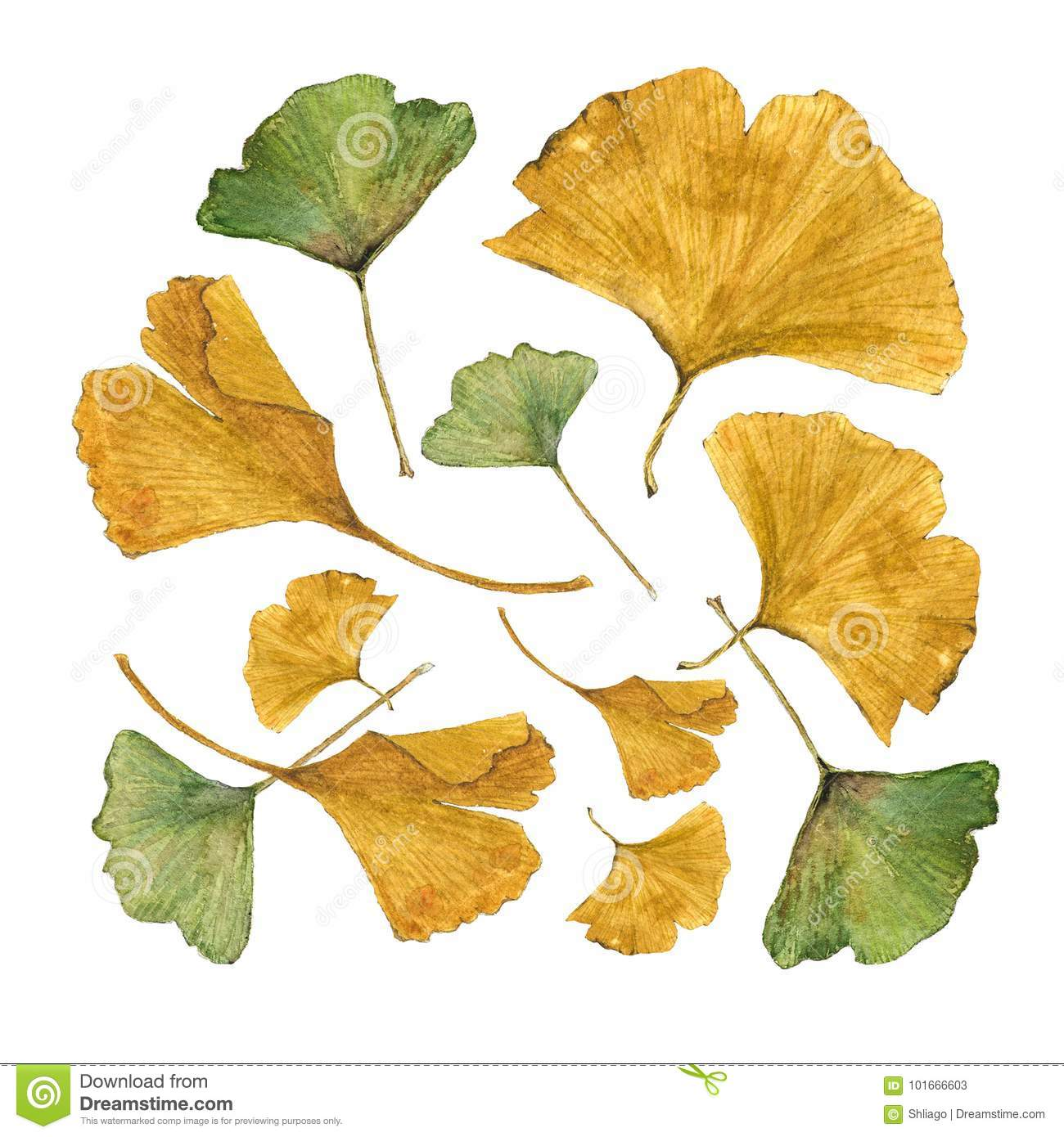 Botanical Watercolor Illustration Of Colorful Ginkgo Leaves On White ...