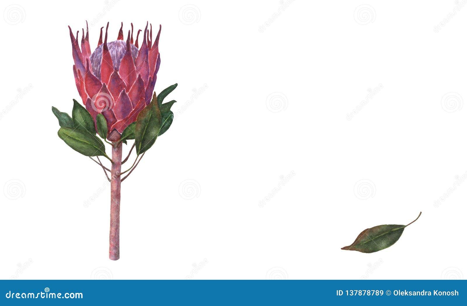 Botaniczna ilustracja królewiątka Protea, akwareli ręka rysująca, na białym tle, odizolowywającym