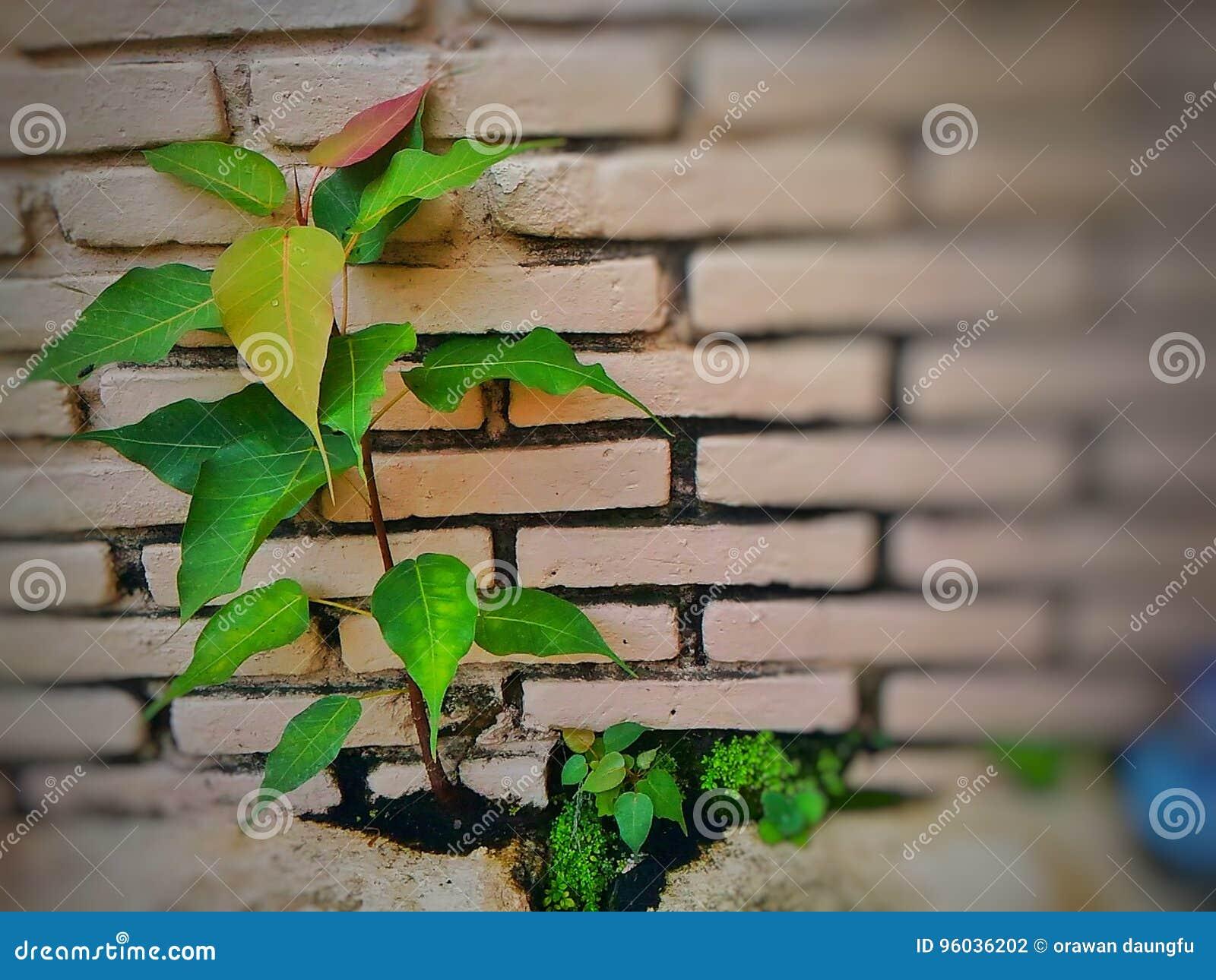 Botaniczny imię Ficus religiosa