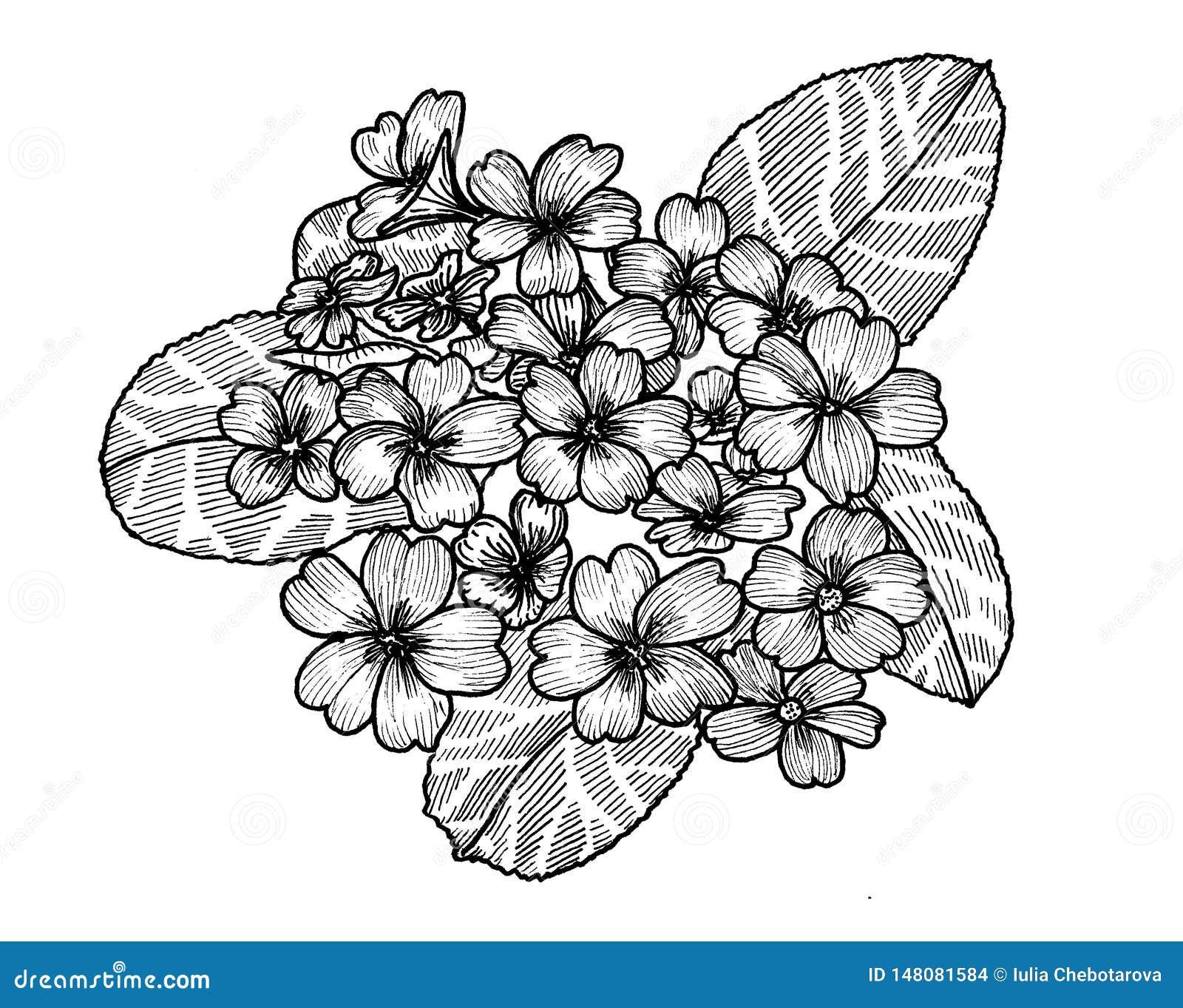 Botaniczny rysunek primula grafit