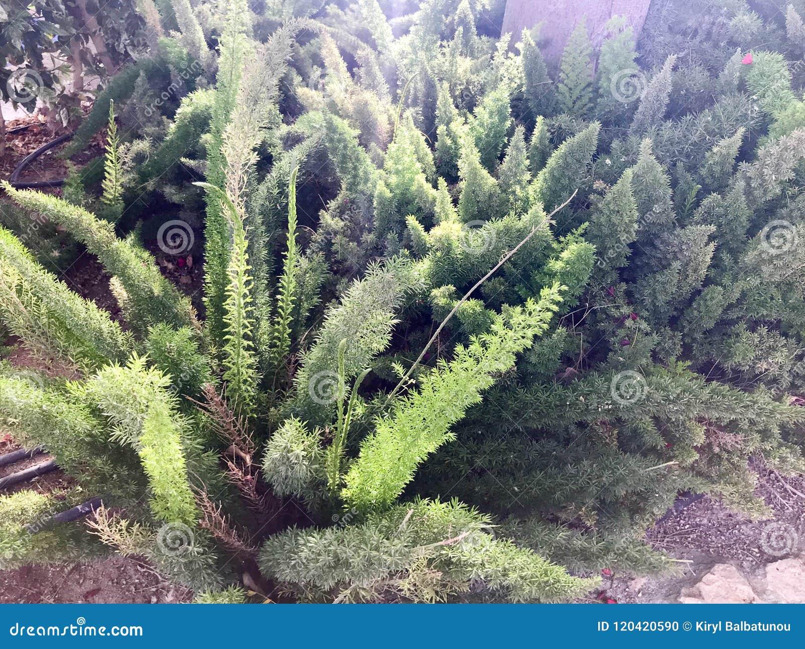 Botanique naturel d usine pelucheuse verte avec de longues feuilles comme tropical exotique rare peu commun d épines de la flore