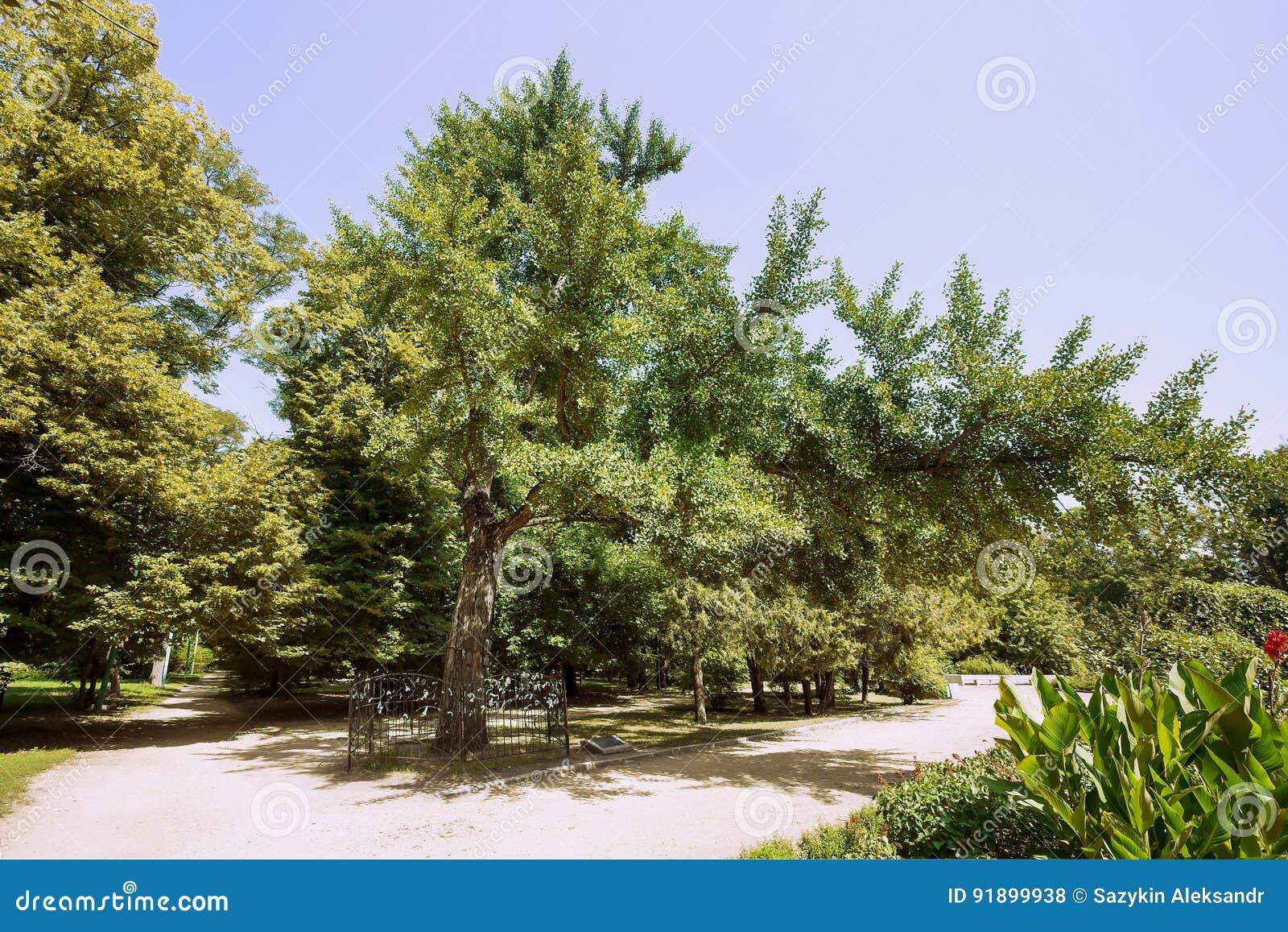 Botanisch natuurlijk die monument - Ginkgo-biloba - in het Park na M wordt genoemd Gorky in de stad van Taganrog, Rostov-gebied,