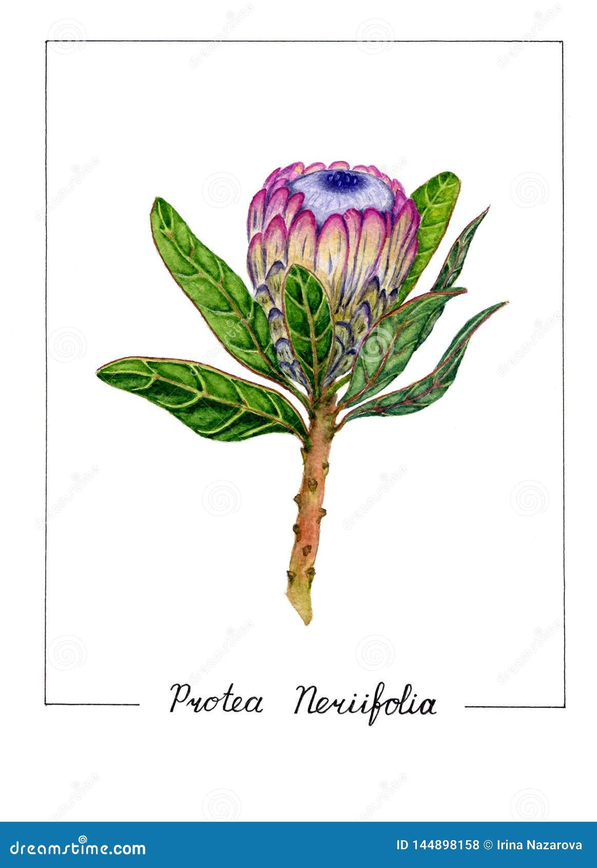 Botanische Illustration der Proteablume lokalisiert auf weißem Hintergrund