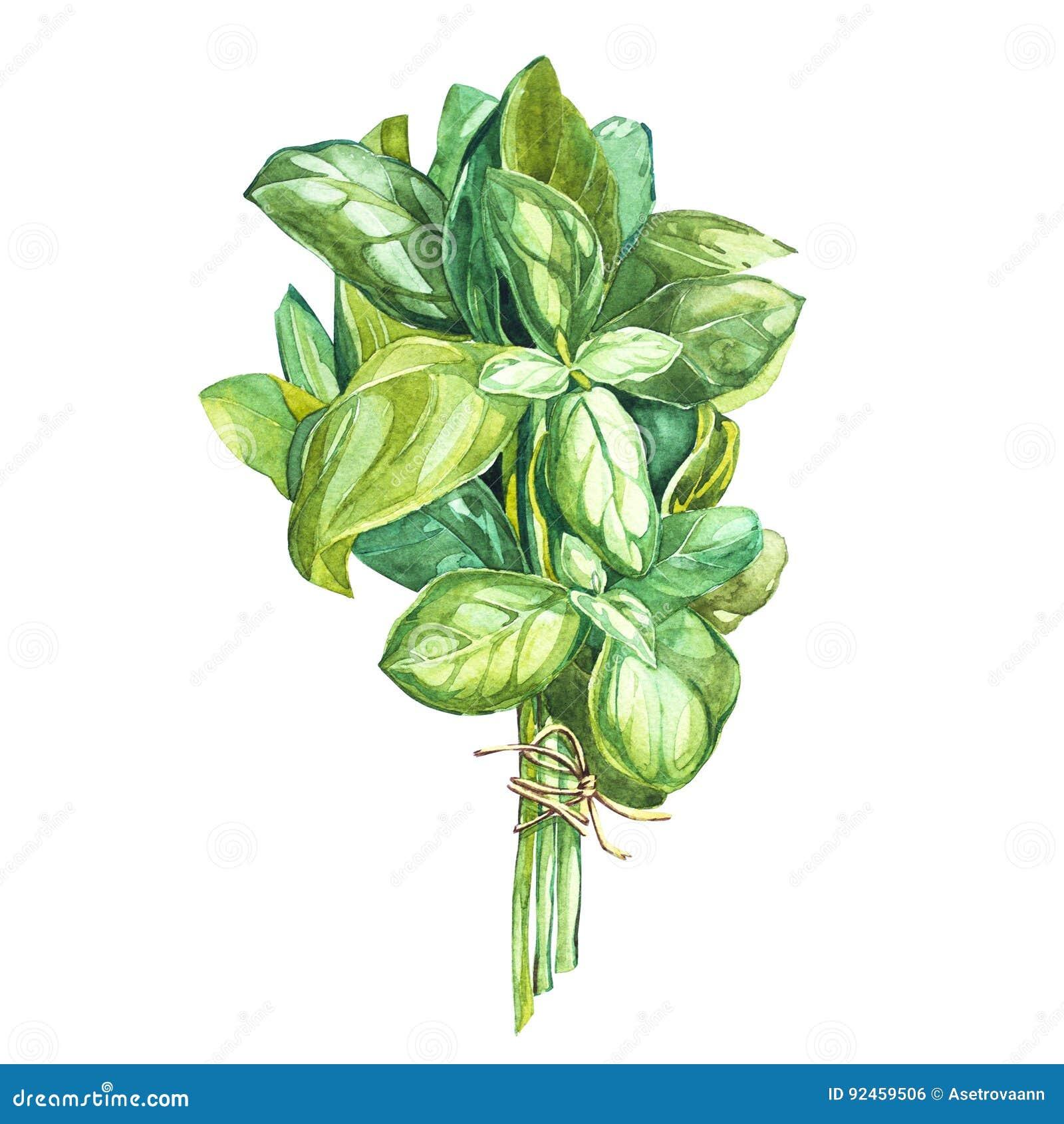 Botanische tekening van een basilicumverlater Versiert de waterverf mooie illustratie van culinaire die kruiden voor het koken wo