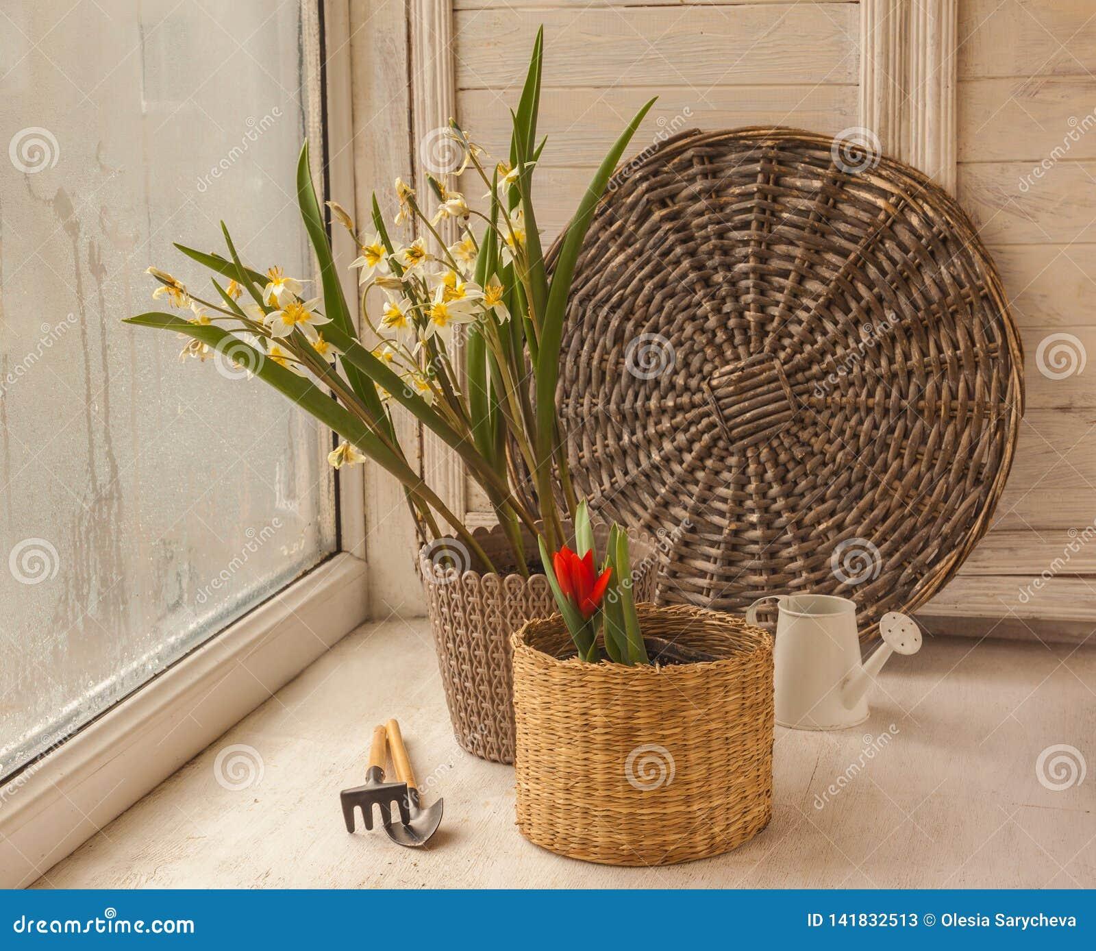 Botanische Tulpen in den Töpfen auf dem Fenster
