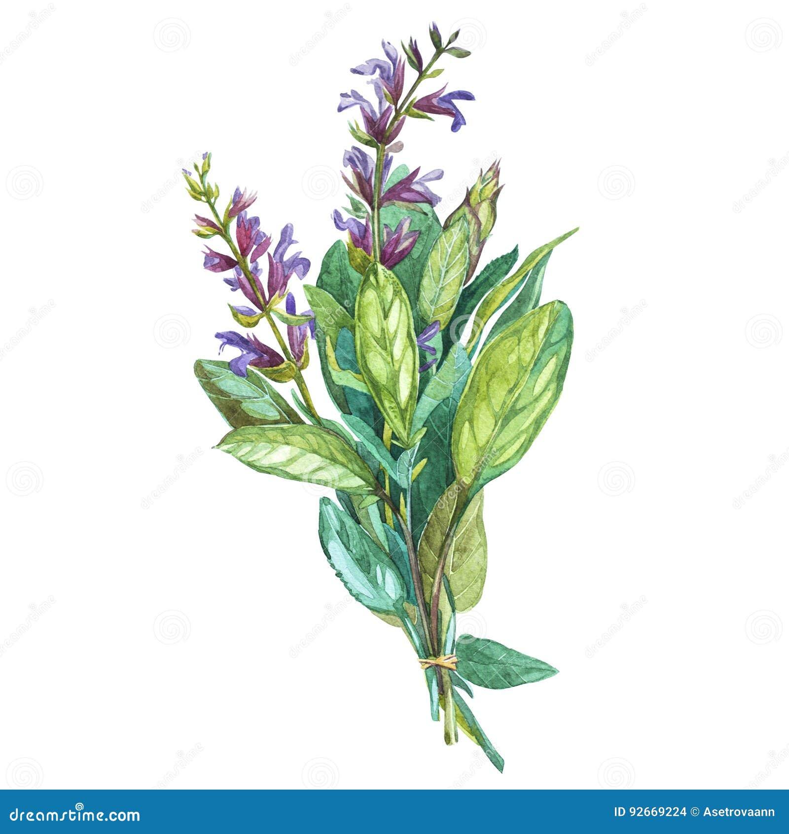Botanische Zeichnung eines Salbeis Schöne Illustration des Aquarells von den Küchenkräutern, die für das Kochen benutzt werden un