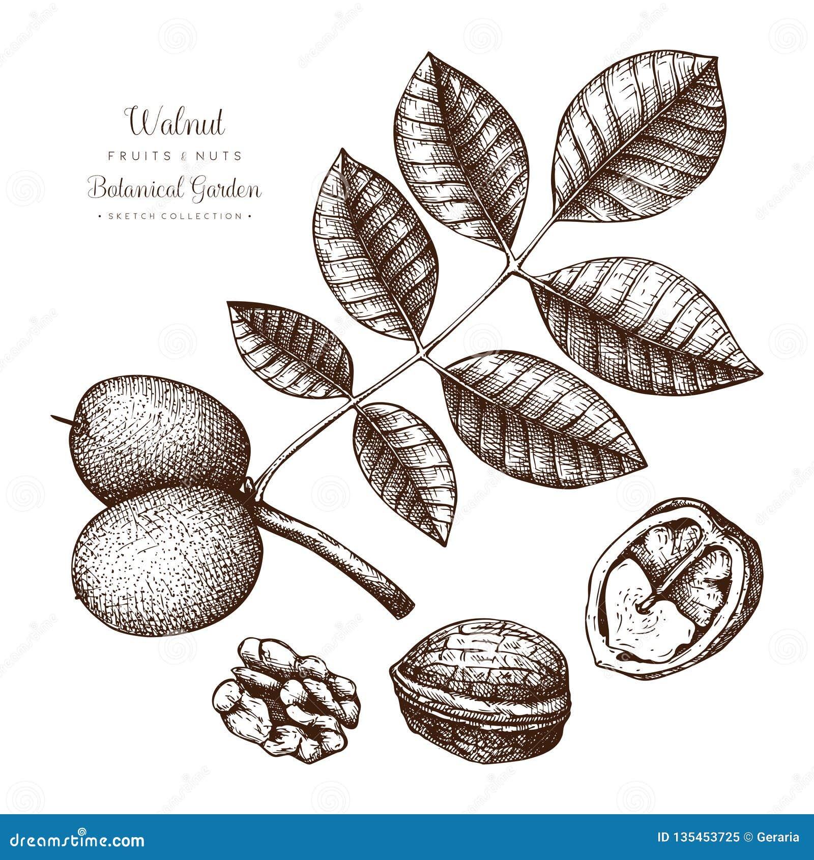 Botanisk illustration för valnöt Tappningträdet skissar på vit bakgrund Utdragna vektormuttrar för hand