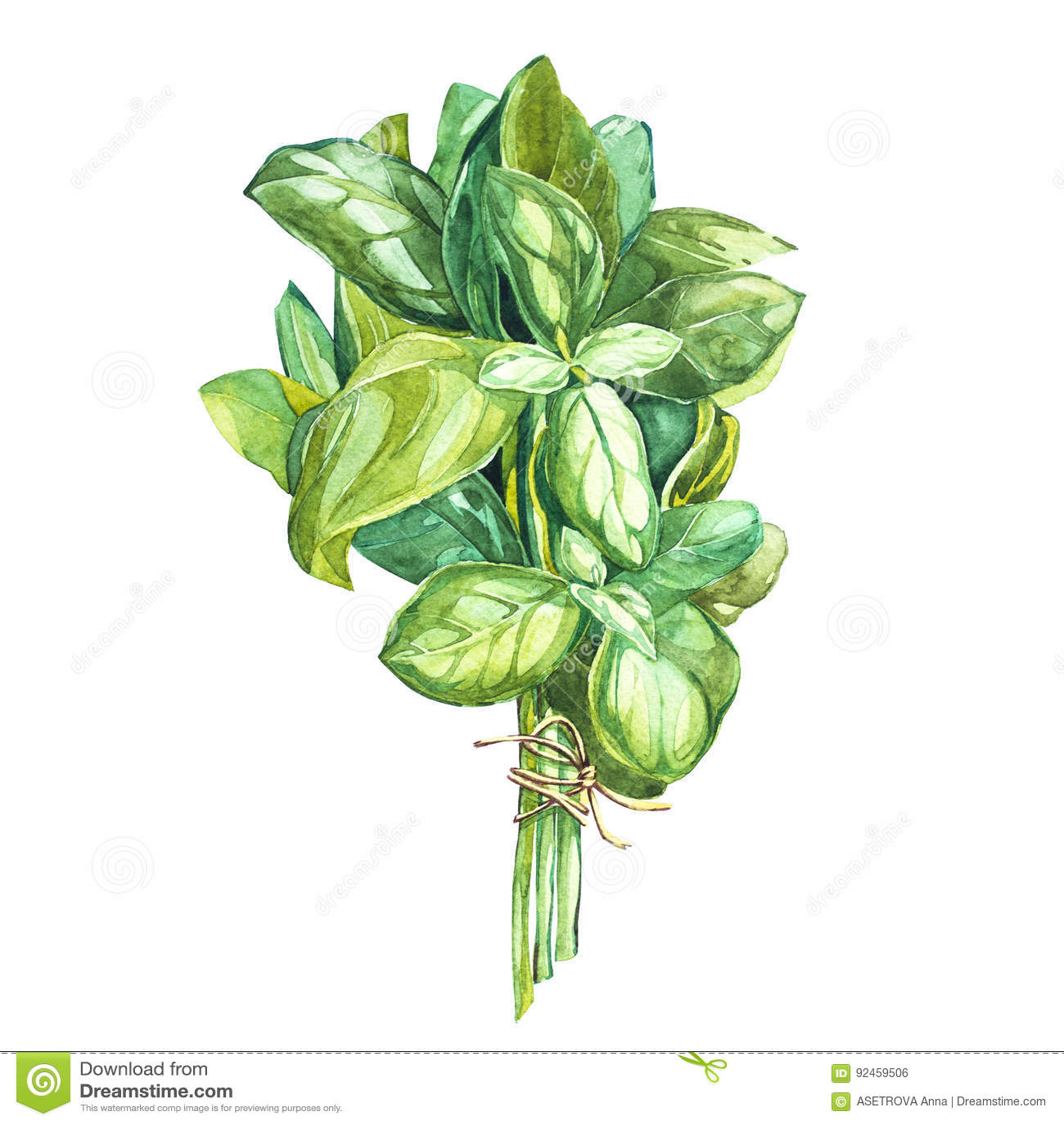 Botanisk teckning av en basilikaavgångsklasselev Härlig illustration för vattenfärg av kulinariska örter som används för att laga