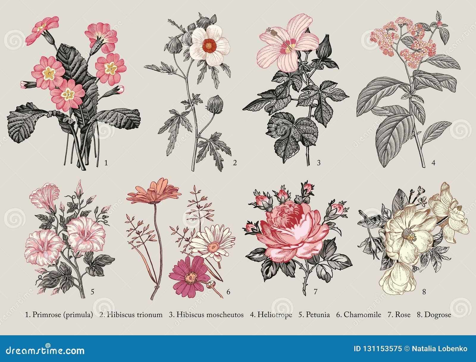 Botany Set flowers Drawing engraving Vector victorian Illustration Primrose Hibiscus Heliotrope Petunia Chamomile Rose, Dogrose