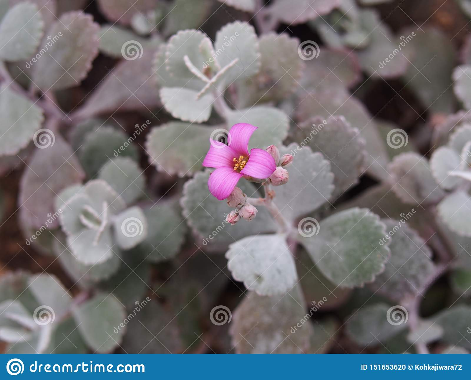 Purple flowers of a cactus, berlin-dahlem botanic garden