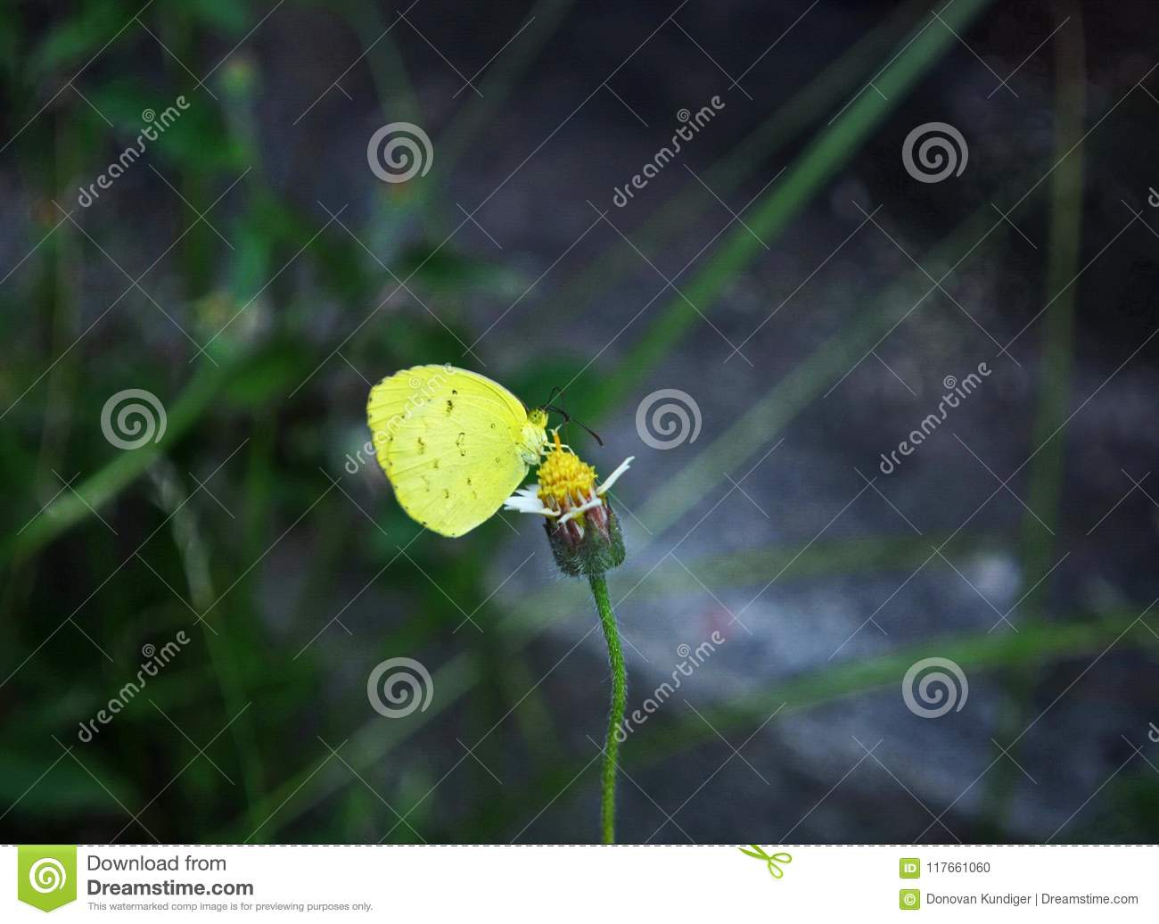 A Yellow Grass Butterfly Extracts Nectar From A Shaggy Soldier Weed