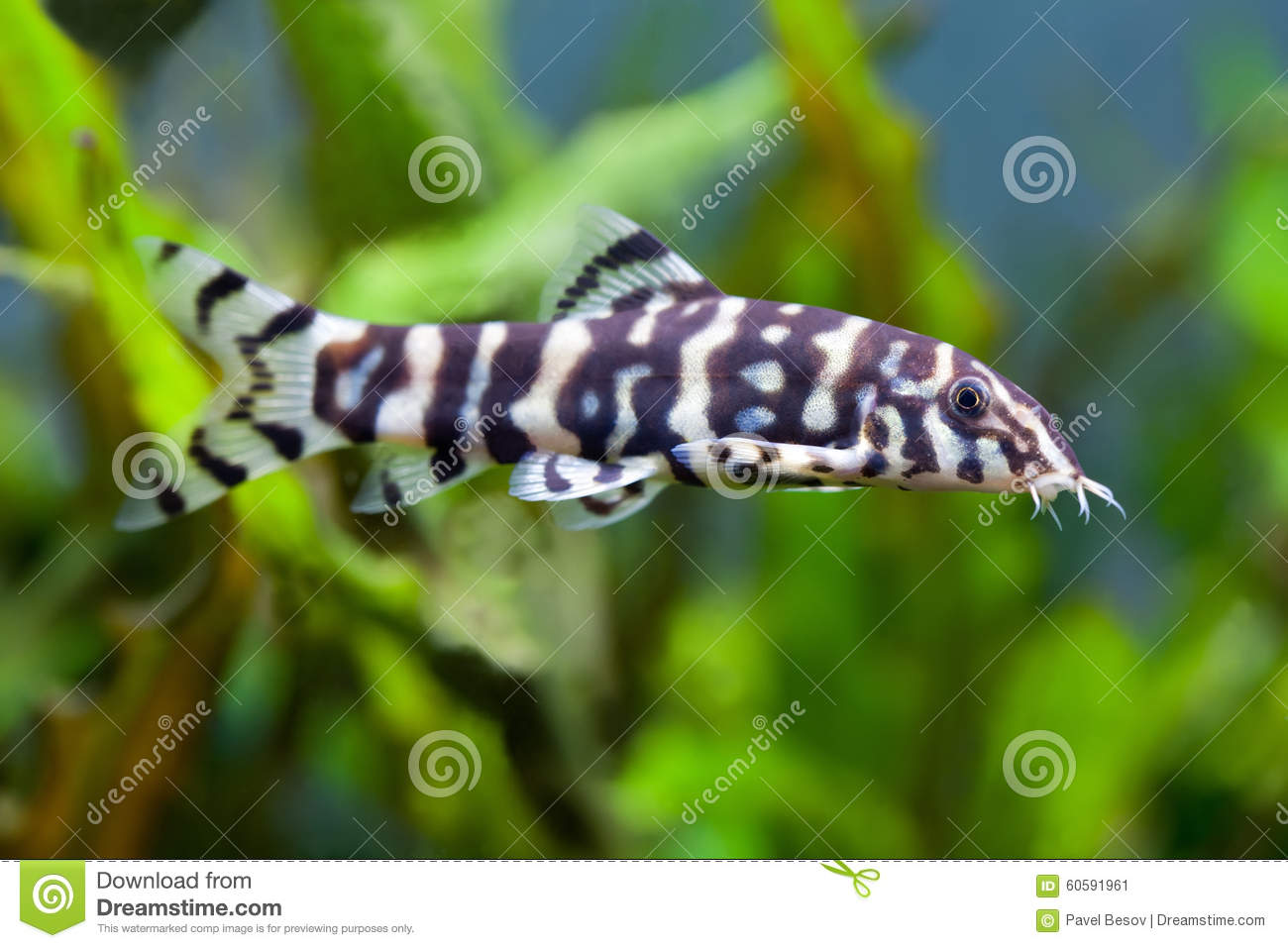 Botia fish histronica unusual golden zebra loach stock for Weird freshwater fish
