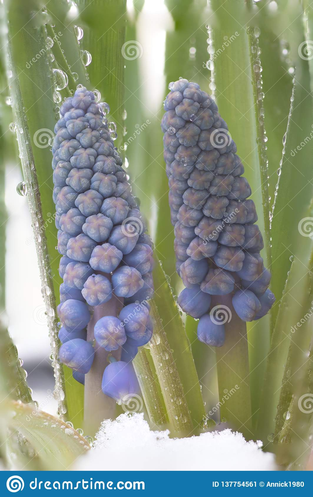 Botryoides del armeniacum del Muscari o jacinto de uva