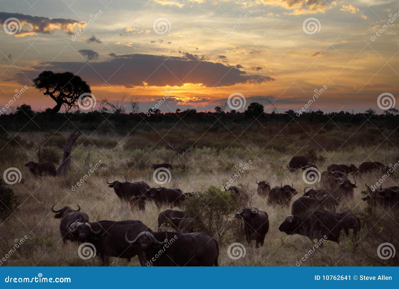 Botswana buffel