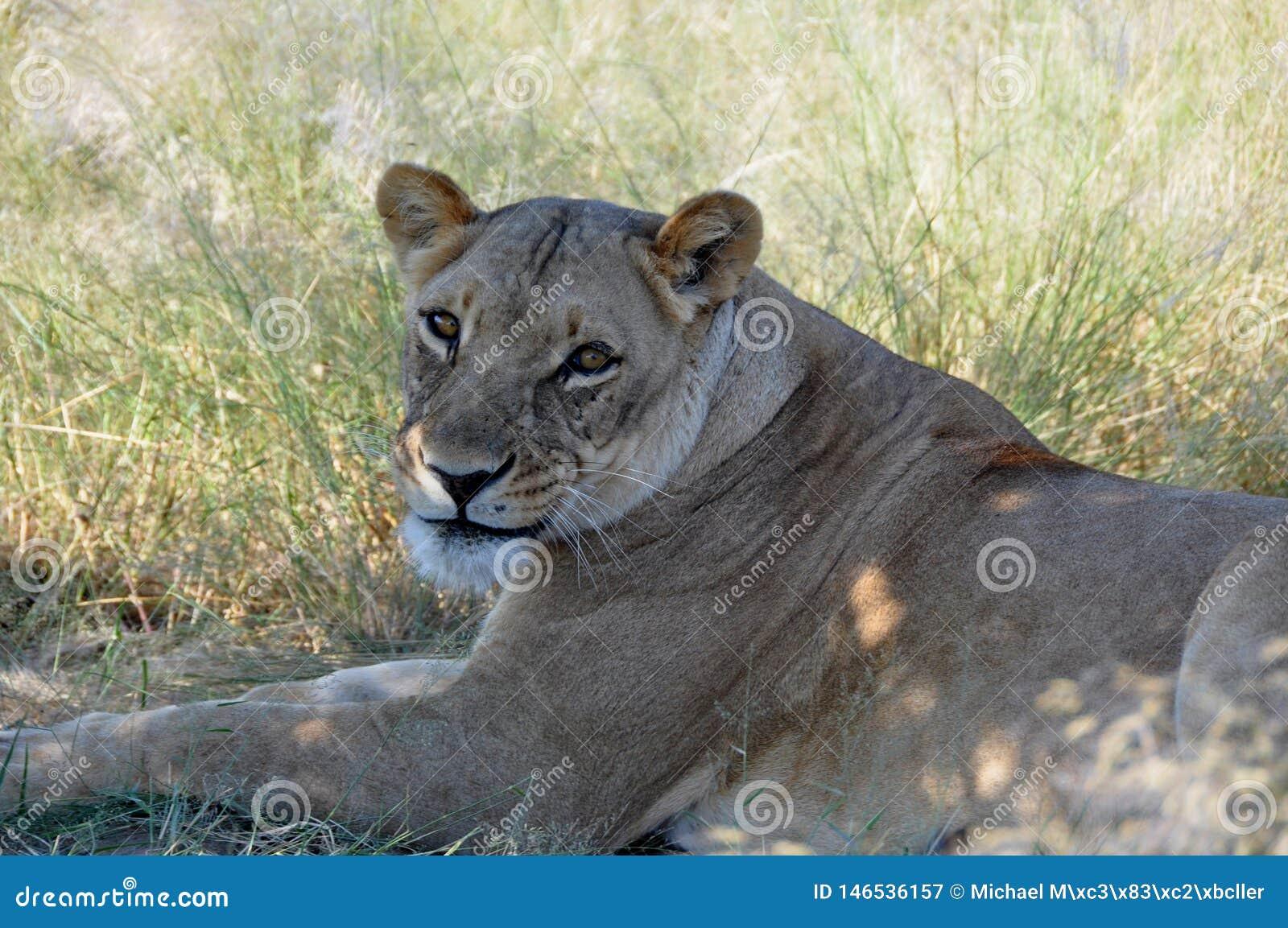 Botswana: Eine faule Löwin, die im Gras des Kalahari liegt