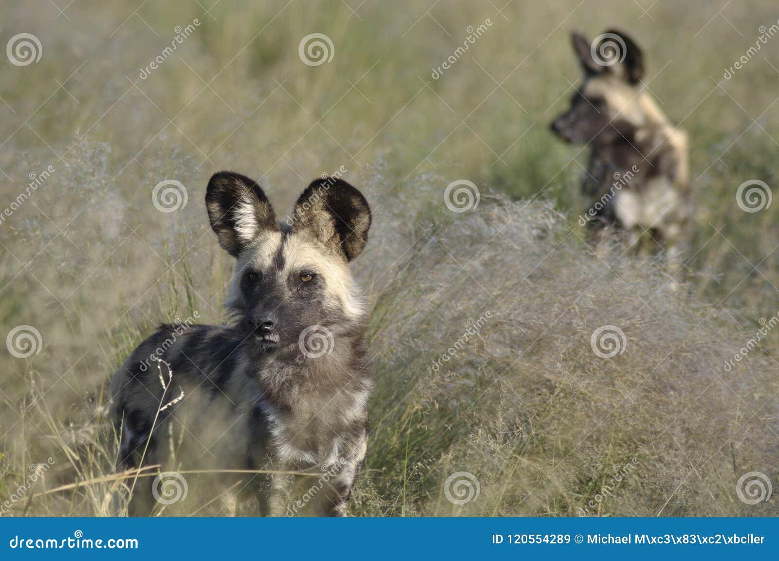 Botswana: Wilddog-reserve bij Weide Safari Lodge in centr