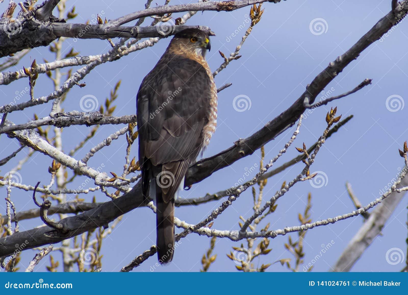 Bottai Hawk Perched Against il cielo blu di Colorado