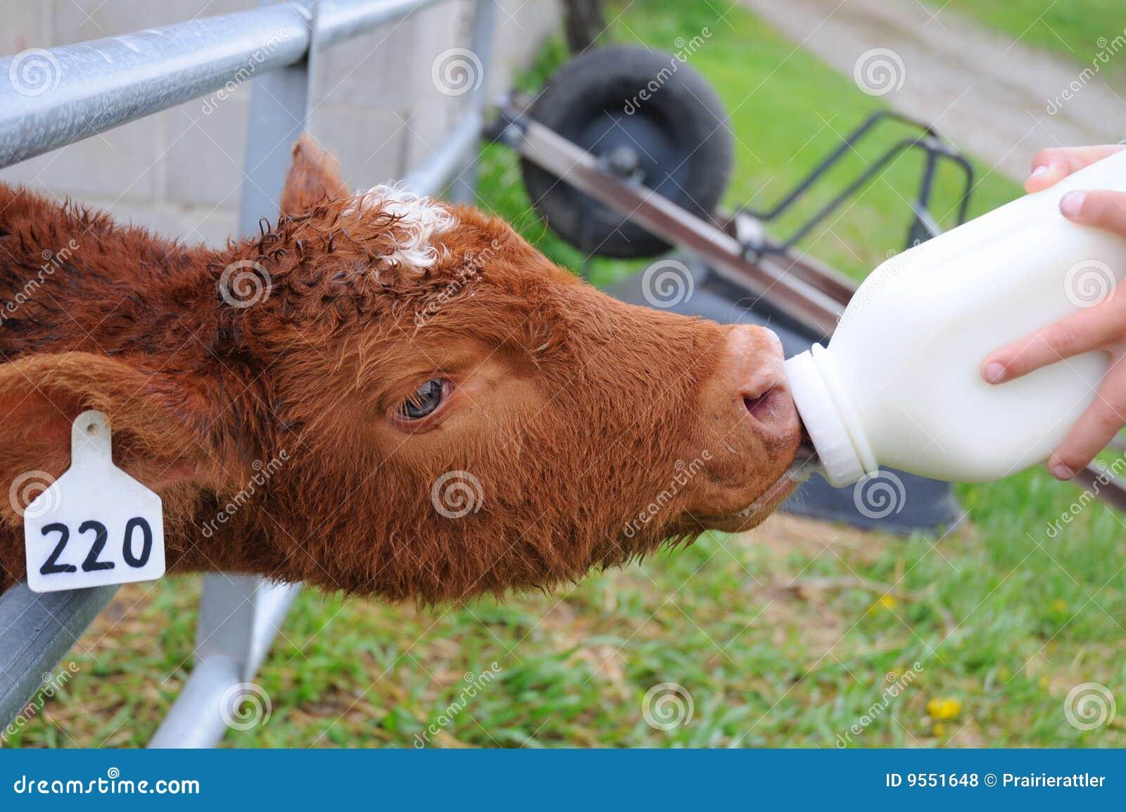 Calf Sucking A Man