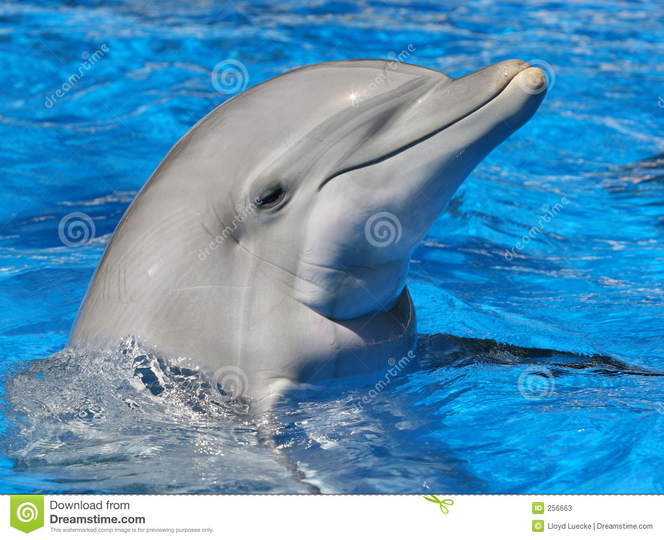 Download Bottle Nosed Dolphin stock image. Image of fish, flipper - 256663