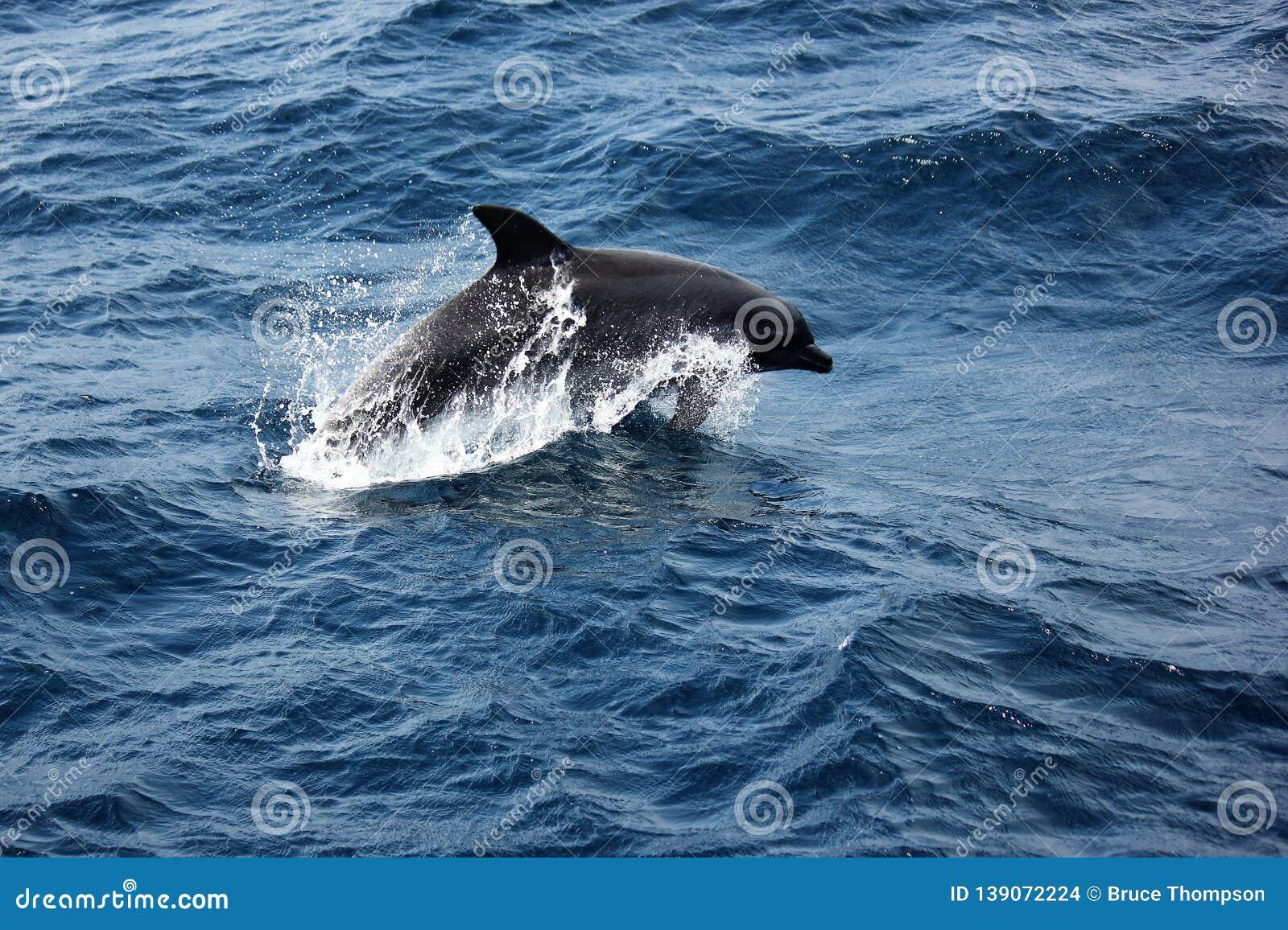 Bottle Nosed Dolphin breaching