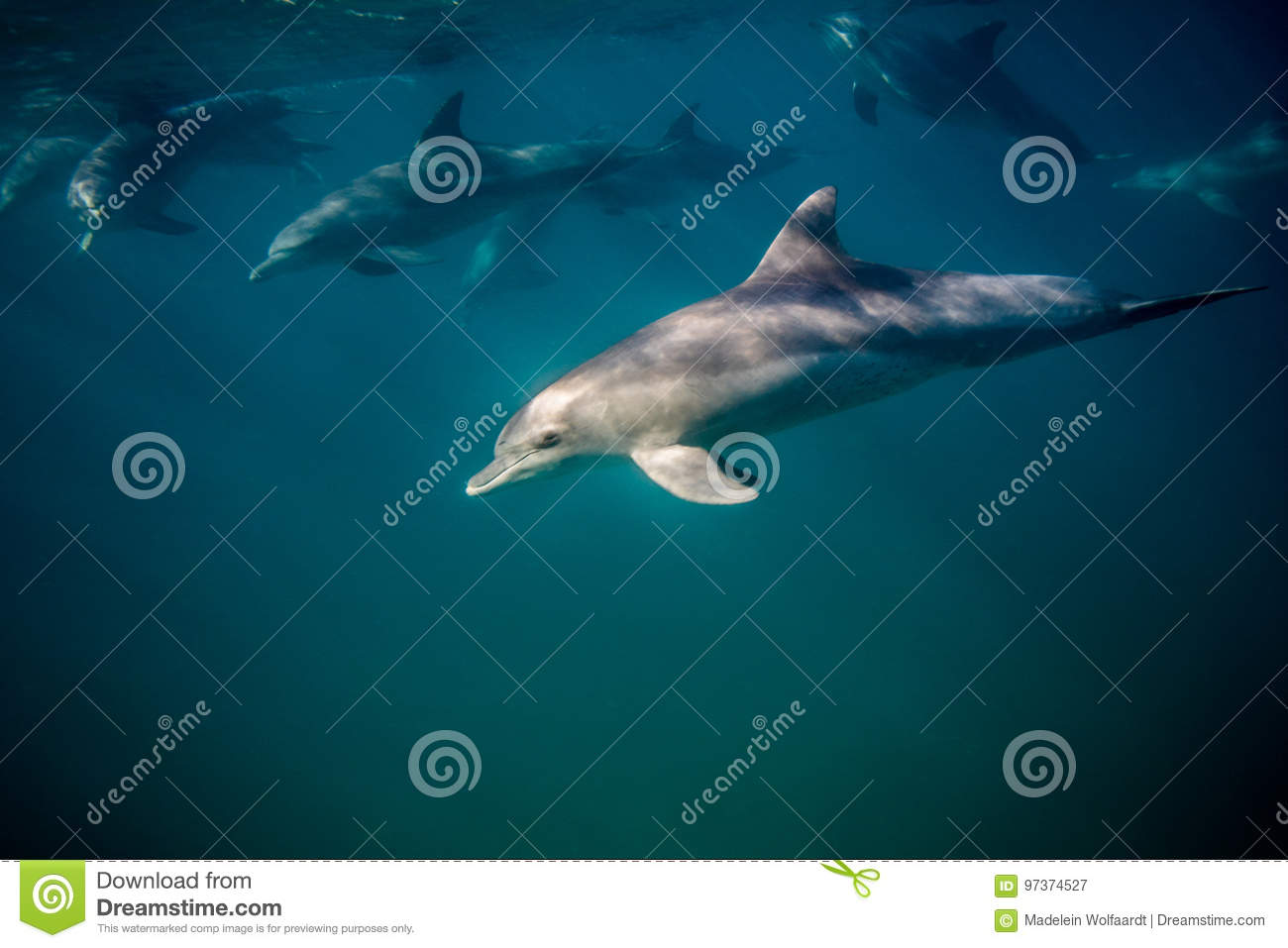 Bottle-nosed dolphin underwater side view.