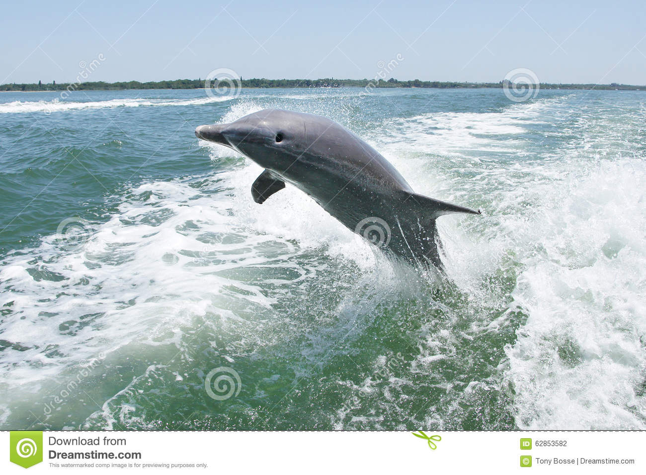 Bottlenose Dolphin Leaping Out Of Water