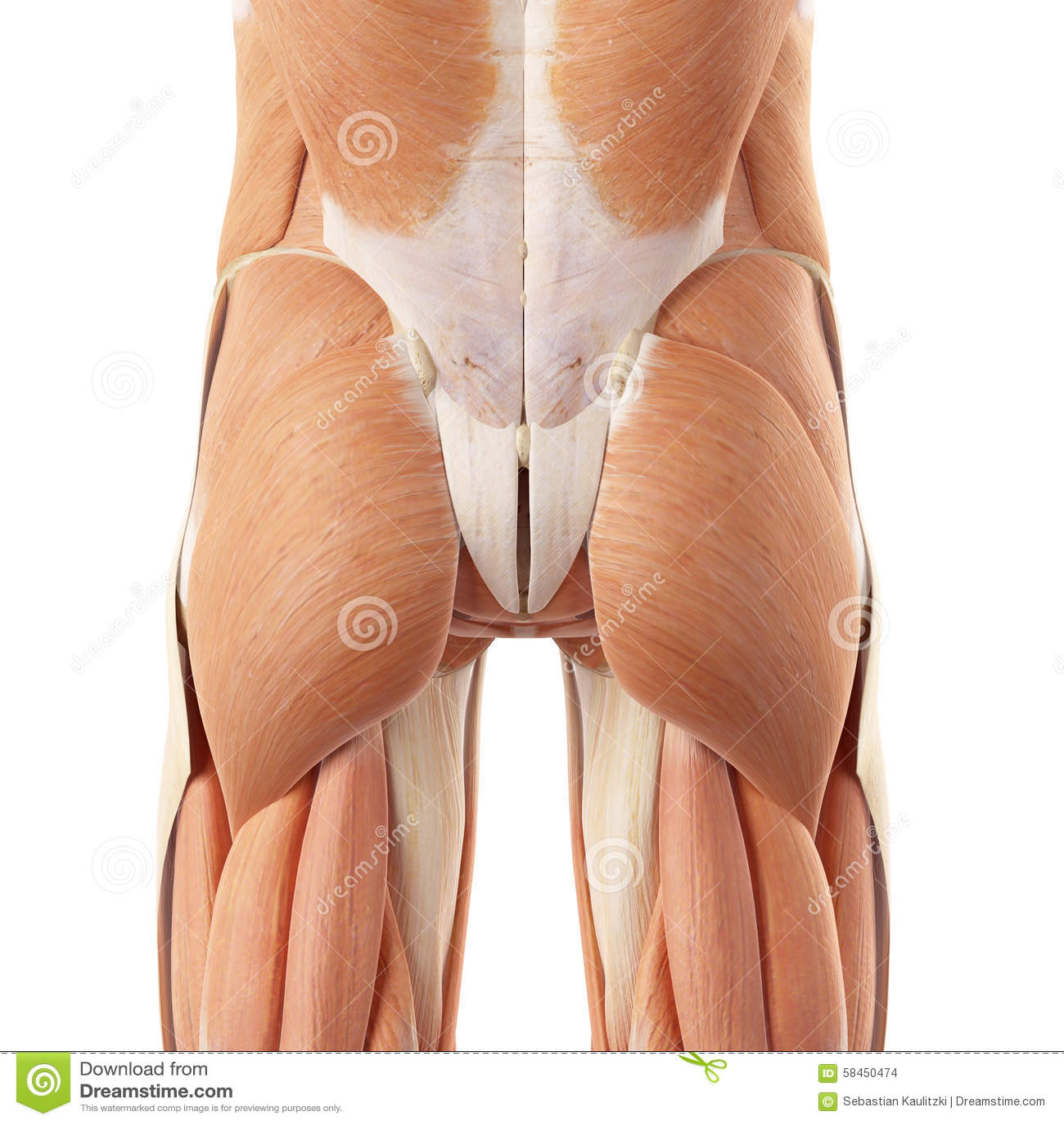 The bottom muscles stock illustration. Illustration of system - 58450474