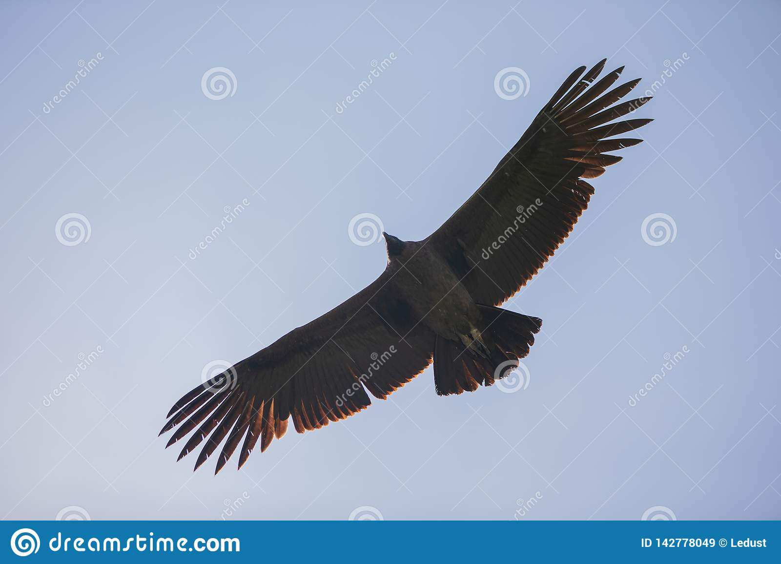 Bottom view of majestic condor flying over you in the colca canyon in chivay, peru