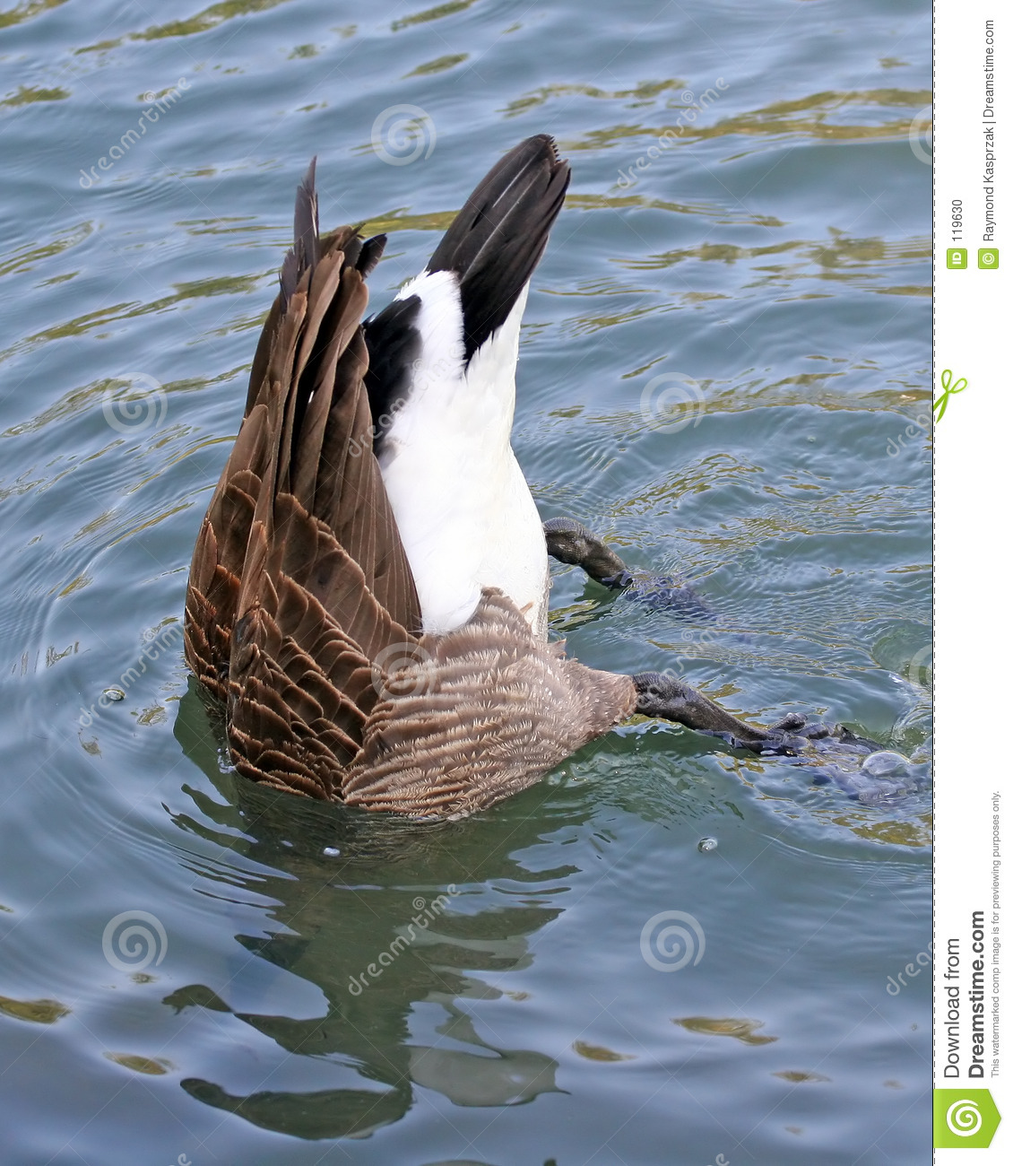 Download Bottoms Up stock photo. Image of bird, bottom, submerged - 119630