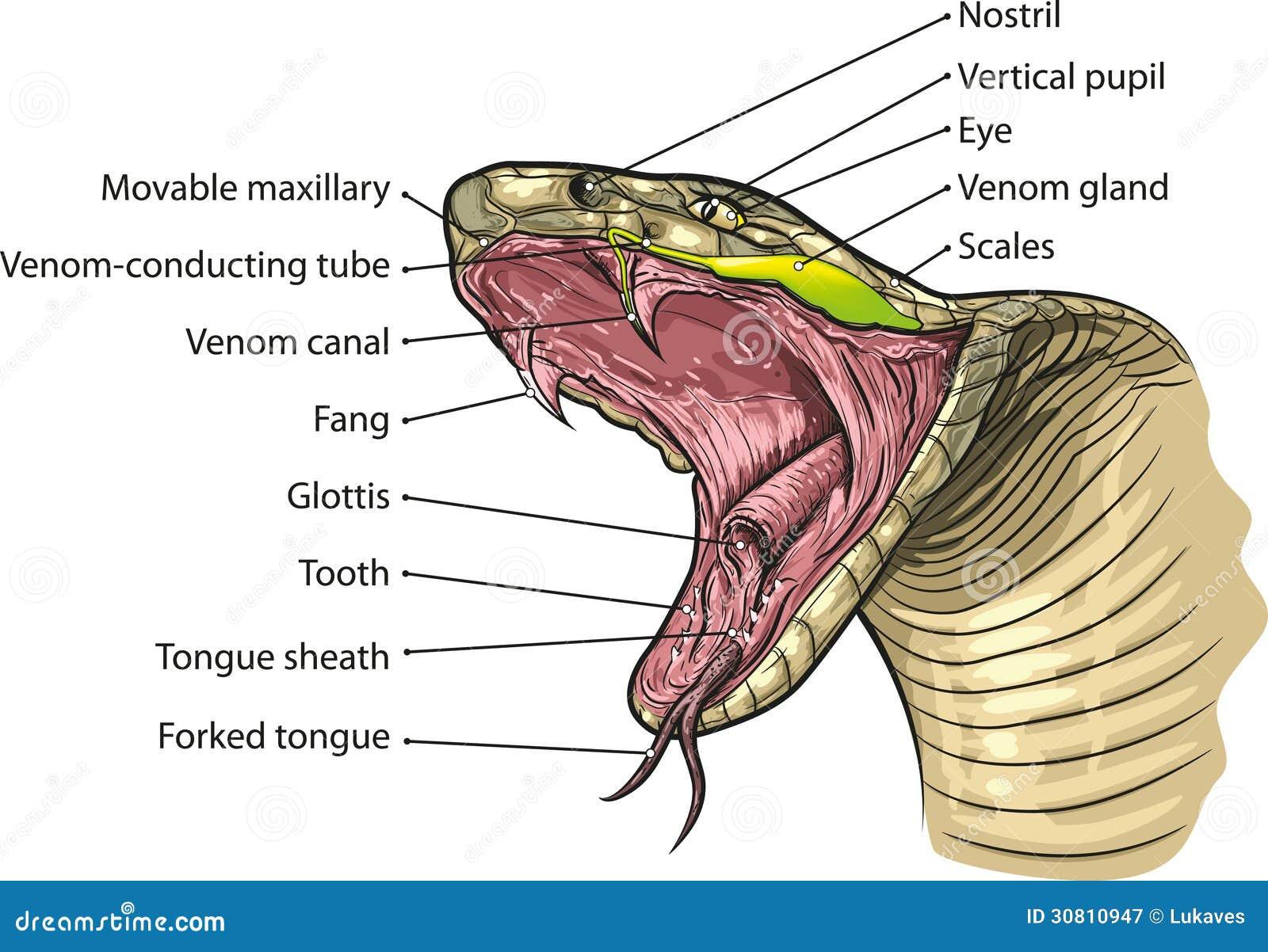 Lujo Anatomía Interna Serpiente Embellecimiento - Imágenes de ...