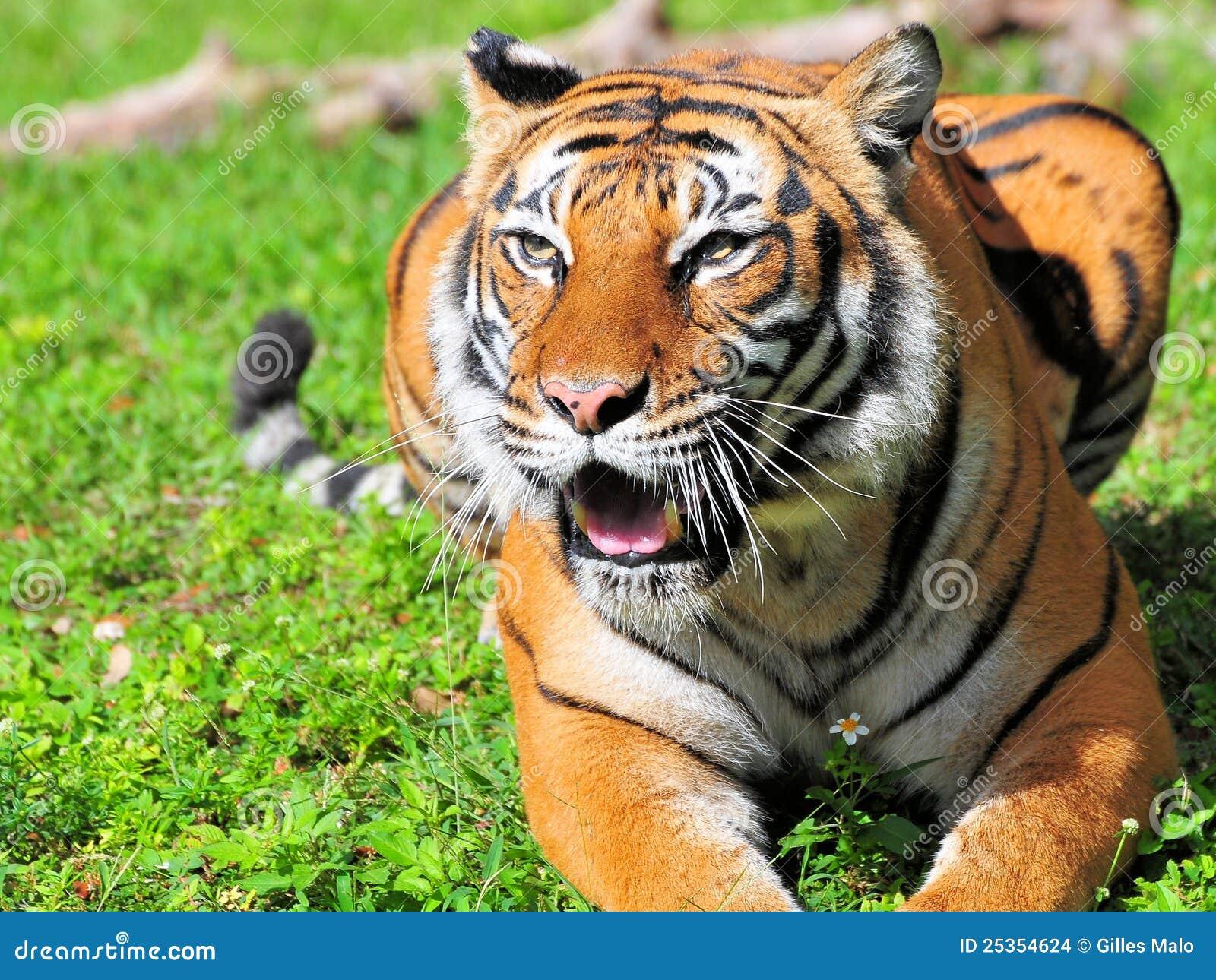 Bouche de tigre de bengale ouverte photo stock image - Images tigres gratuites ...