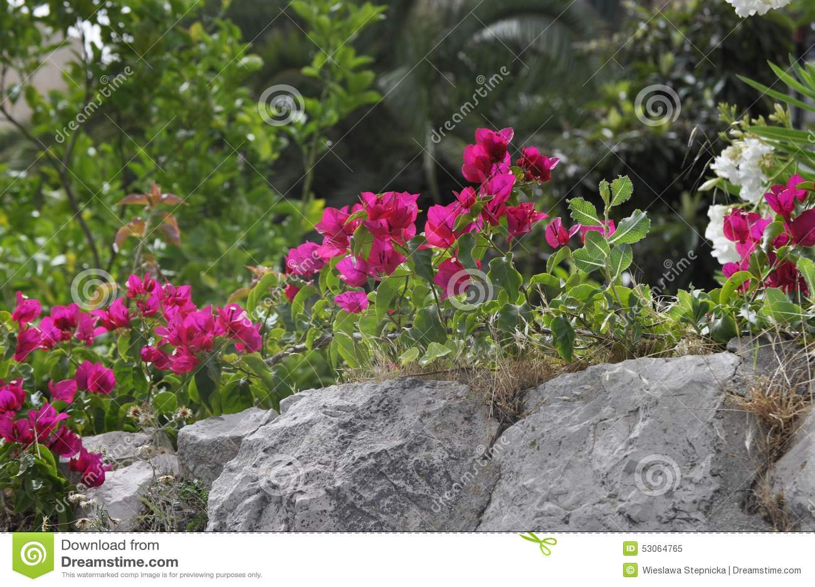 Bougainvillea beautiful flower in garden stones stock image image bougainvillea beautiful flower in garden stones izmirmasajfo