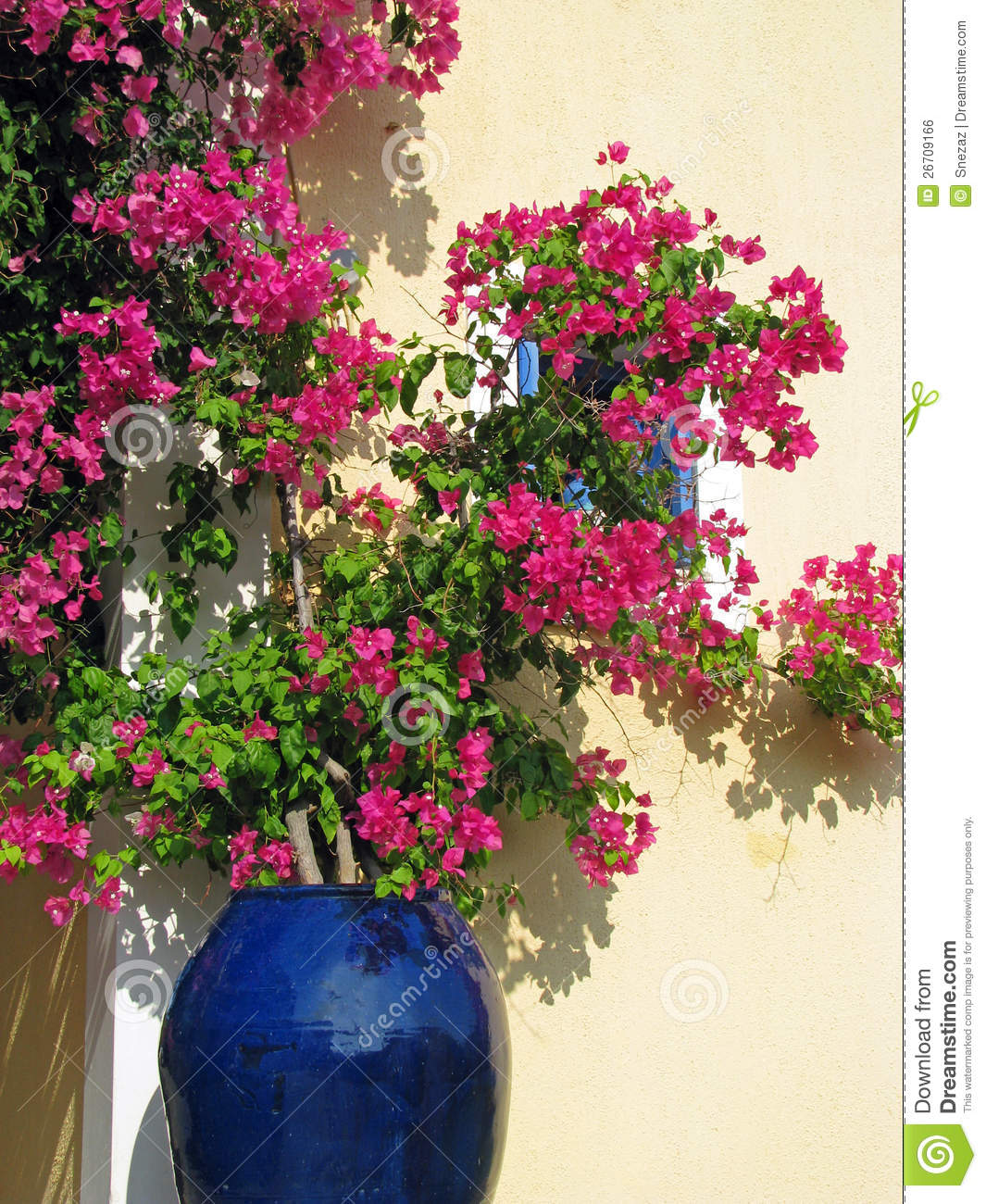 Bougainvillea In Blue Ceramics Pot Royalty Free Stock ...