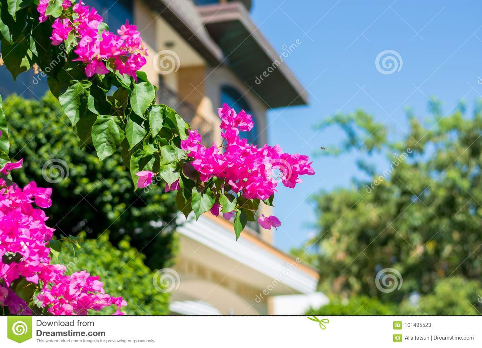 Bougainvillea decorative flower bush on the background of the bu