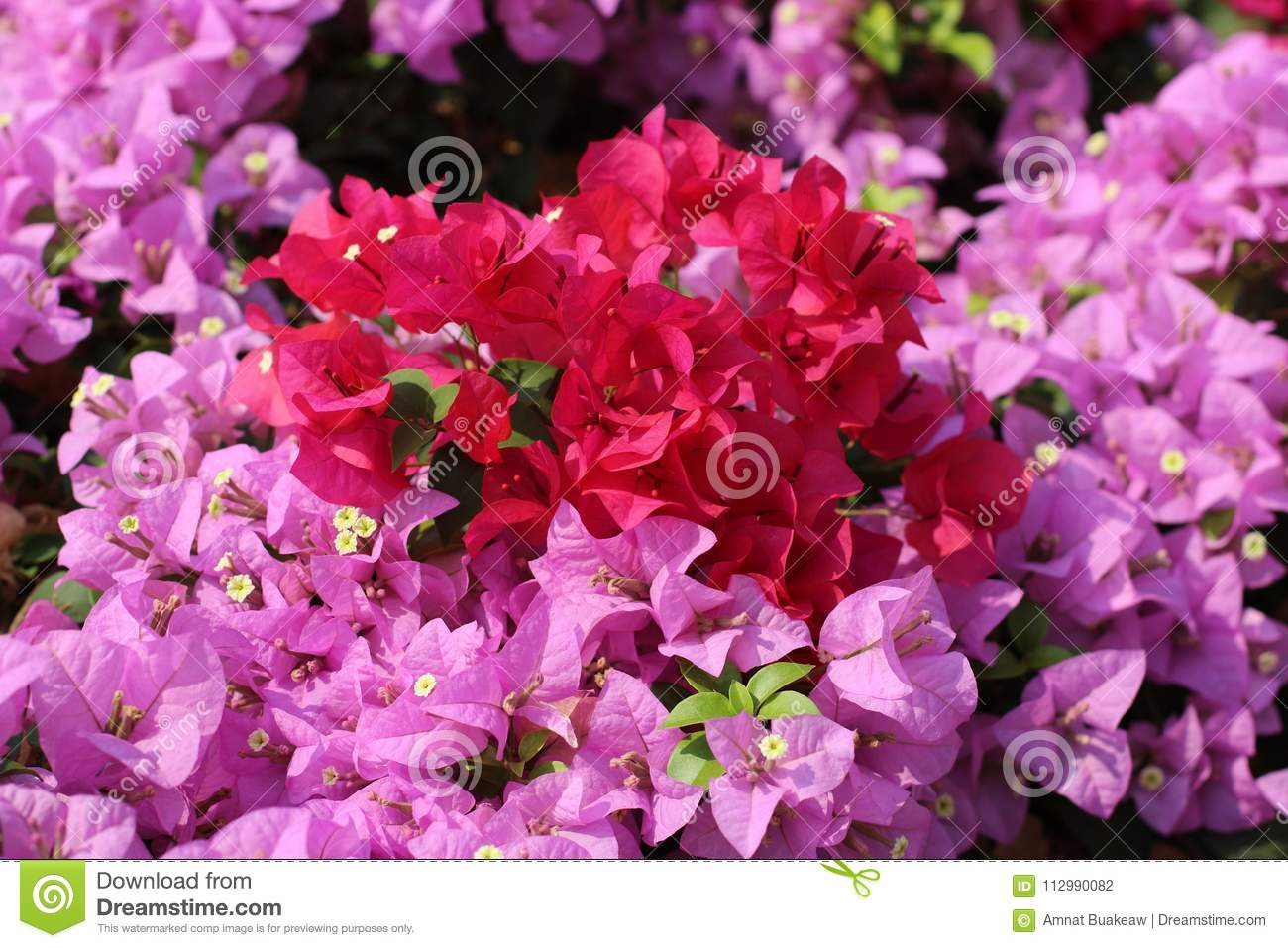 Bougainvillea flower for background pink purple red selective focus